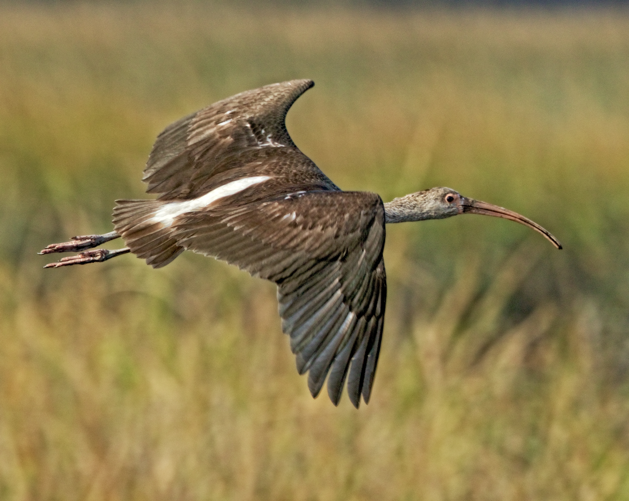 The Juvenile does a fly by before landing..