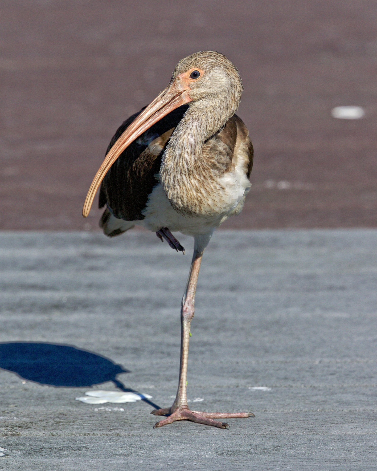 The Ibis determine I am not threat, relaxes and pulls up a leg to rest..that is not snow on the dock though.