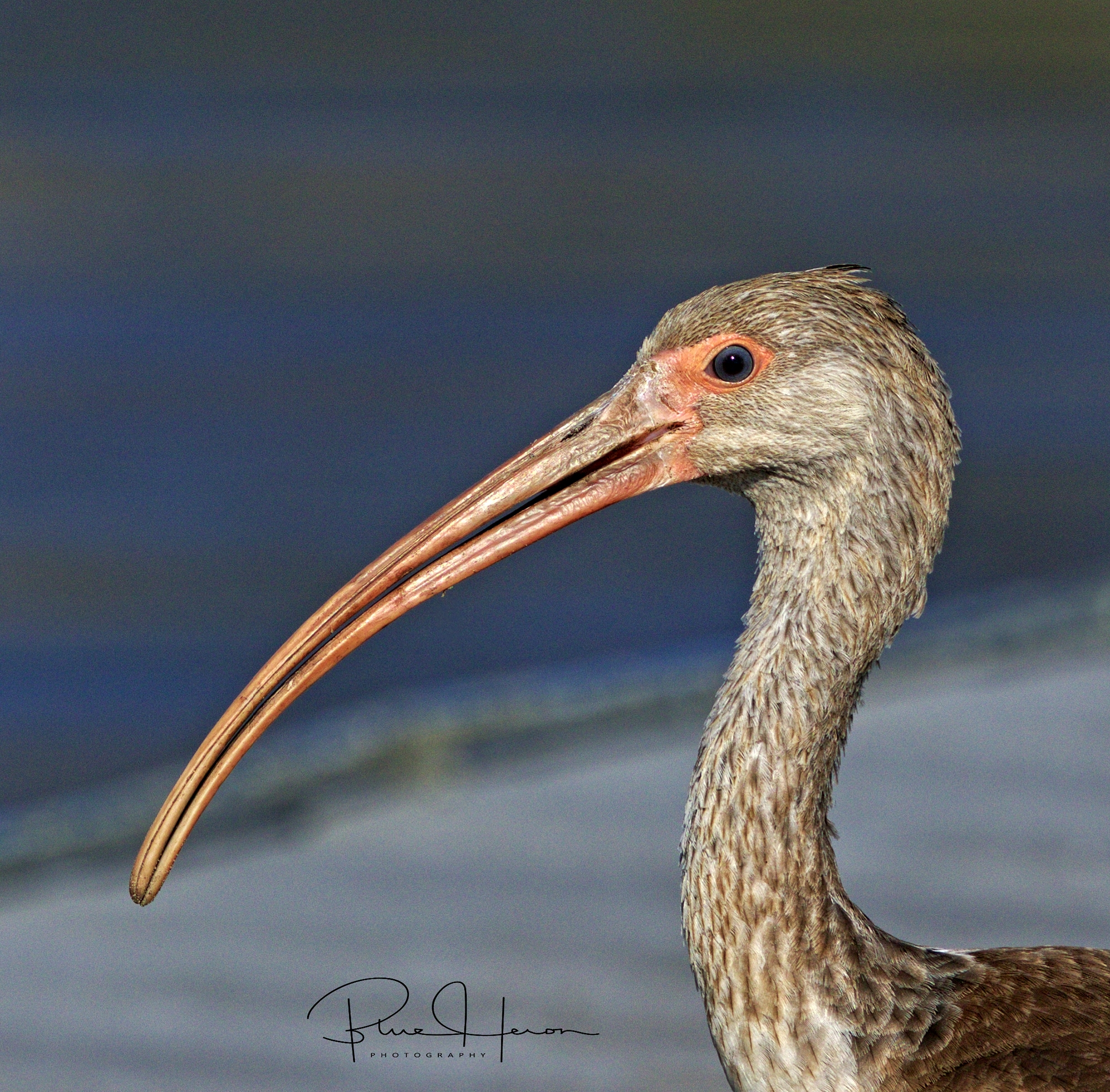 The Juvenile White Ibis landed on the dock very near to me ...