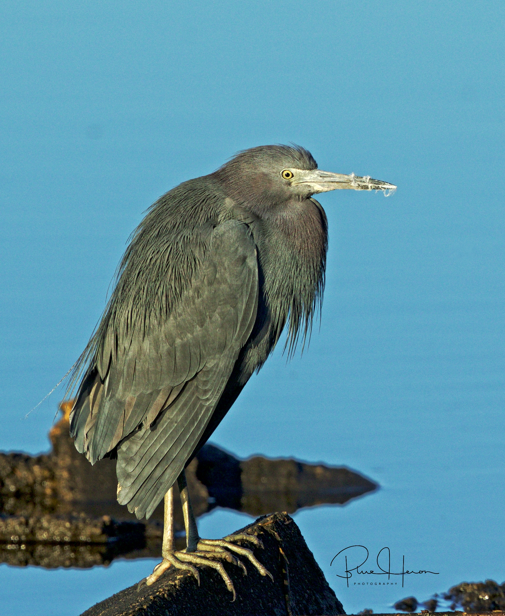 Broward Bob, the Little Blue Heron seems a bit stiff..