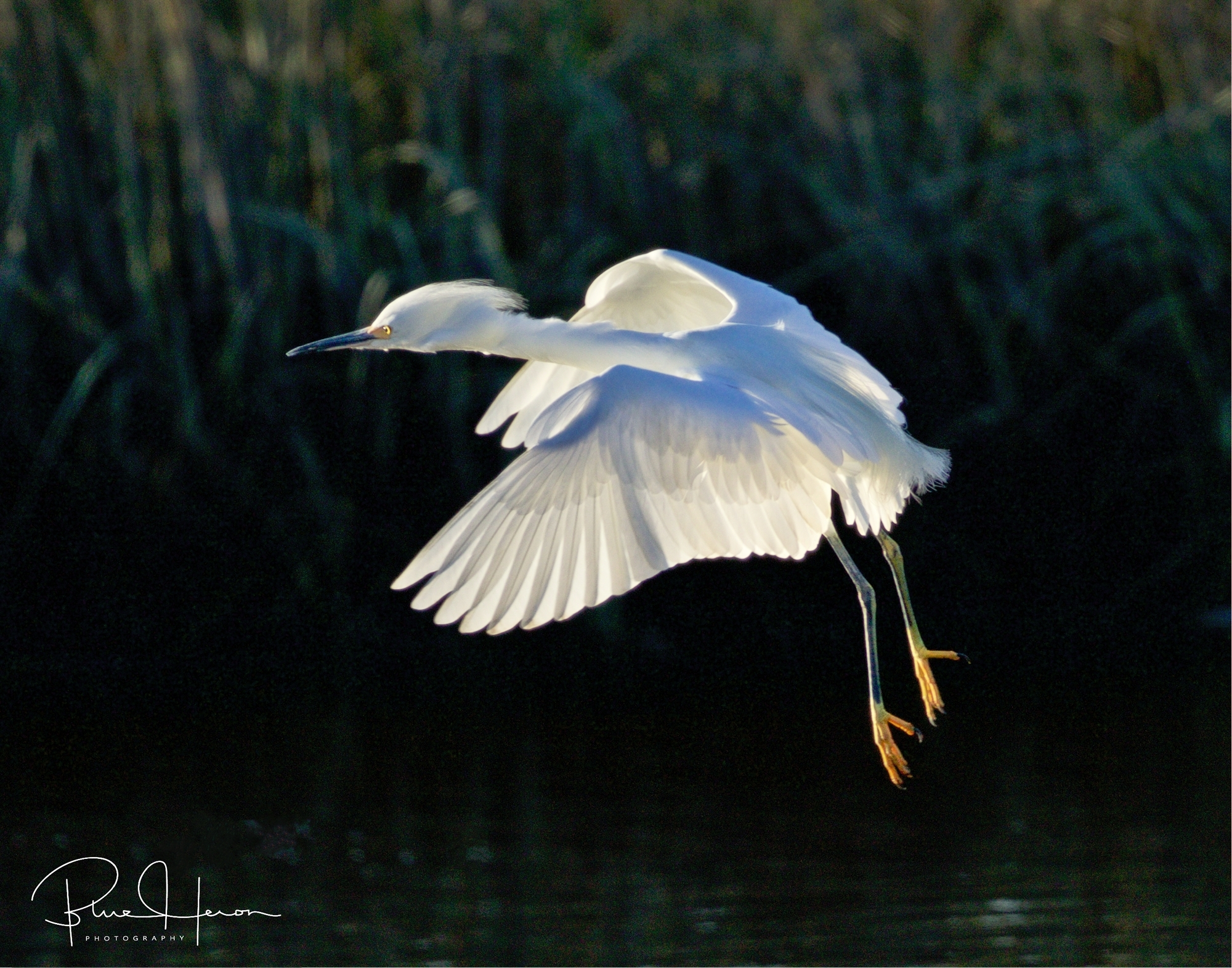 The Snowy Egret flies up to the floating dock...its underwings lit up by the morning sun like an X-ray..