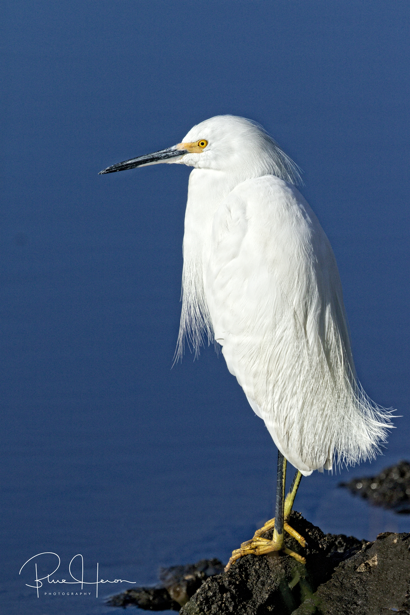 The Snowy Egret seemed frozen as snow too..