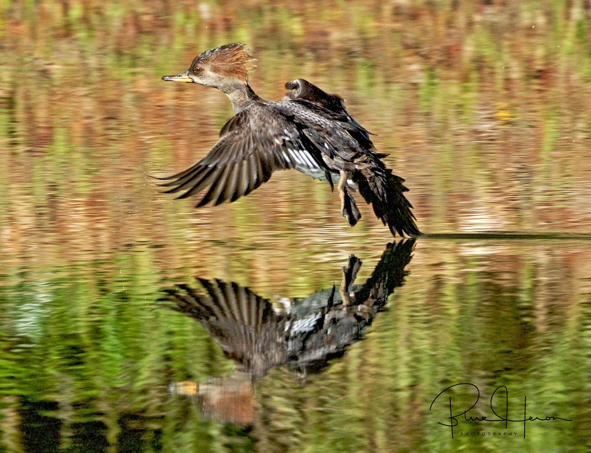 Hooded Merganser female, another diving duck, landing