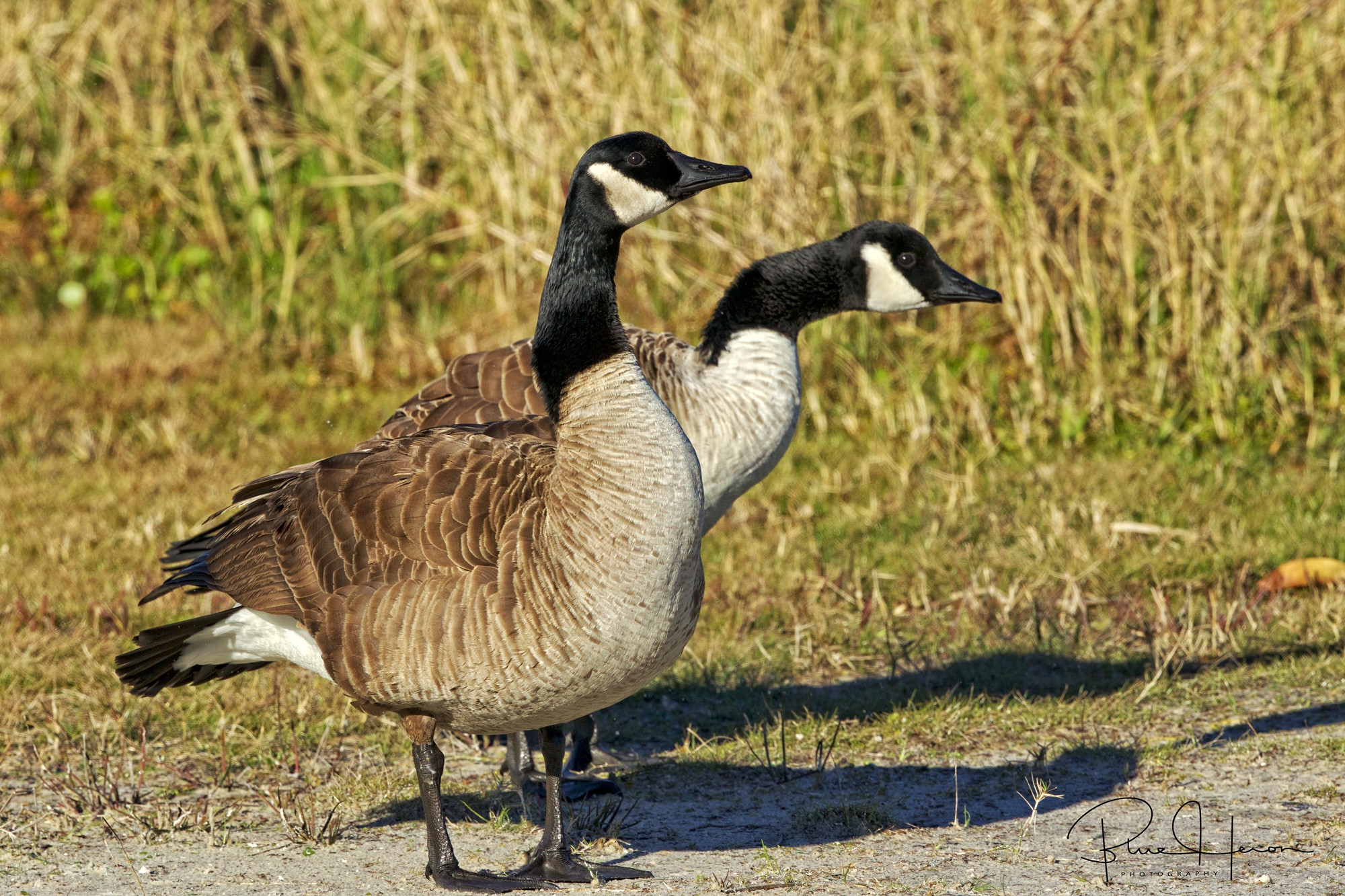 A pair of Canada Geese honk obscene language at another pair across the pond