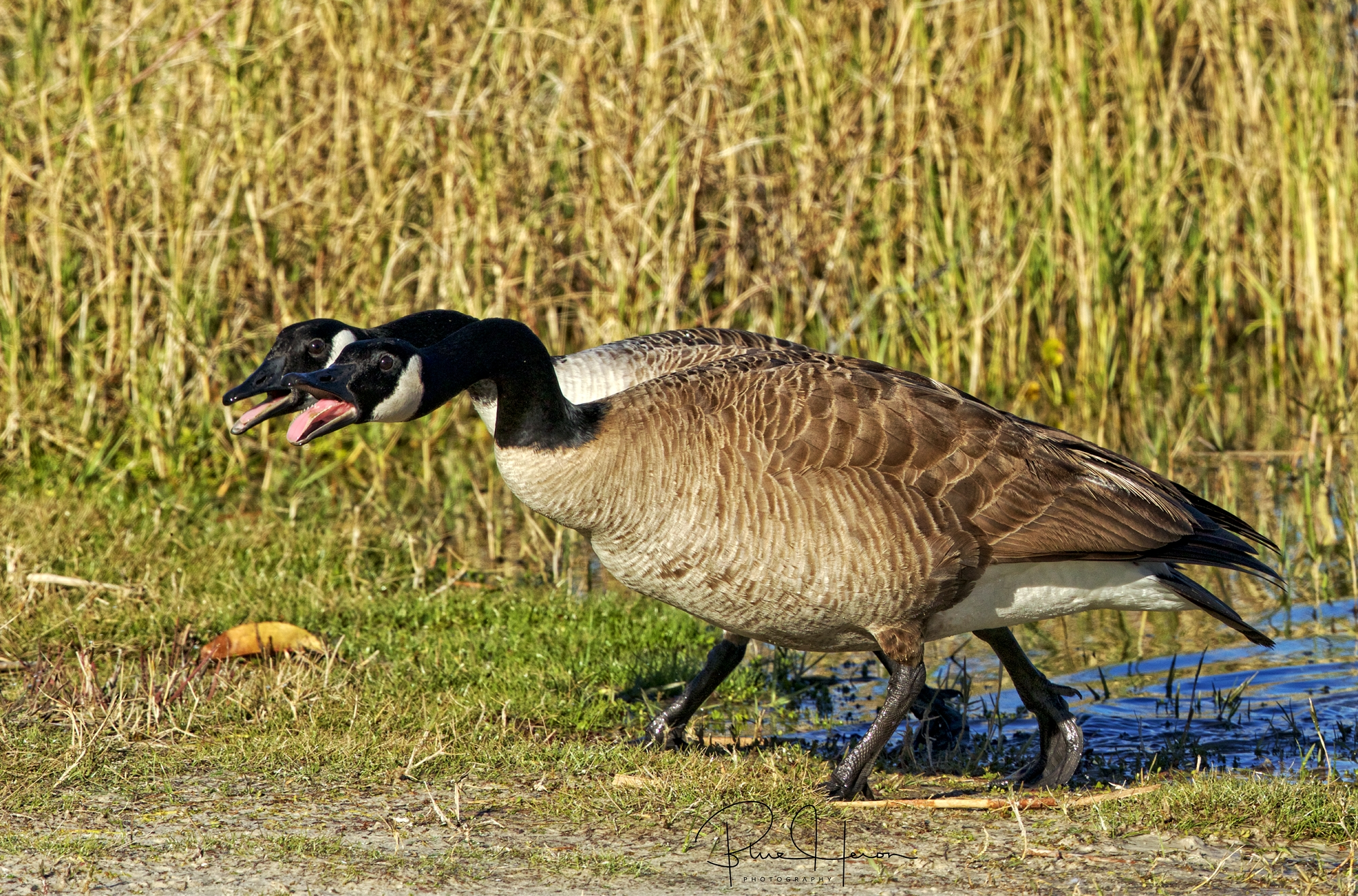 You don't talk to me like that you fat goose!