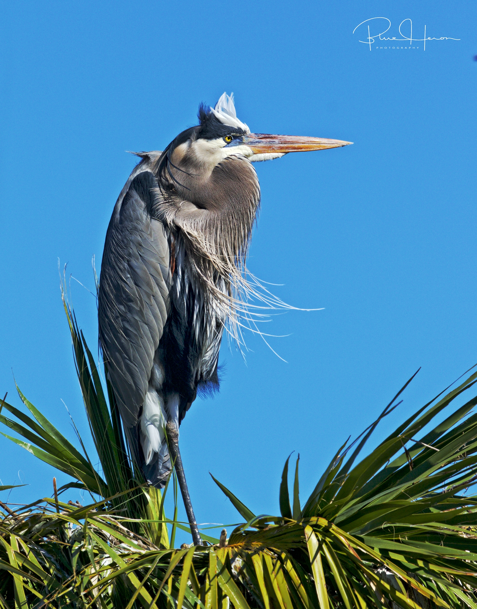Hope to visit the Great Blue Herons soon. I don't think they want Ratatouille though..