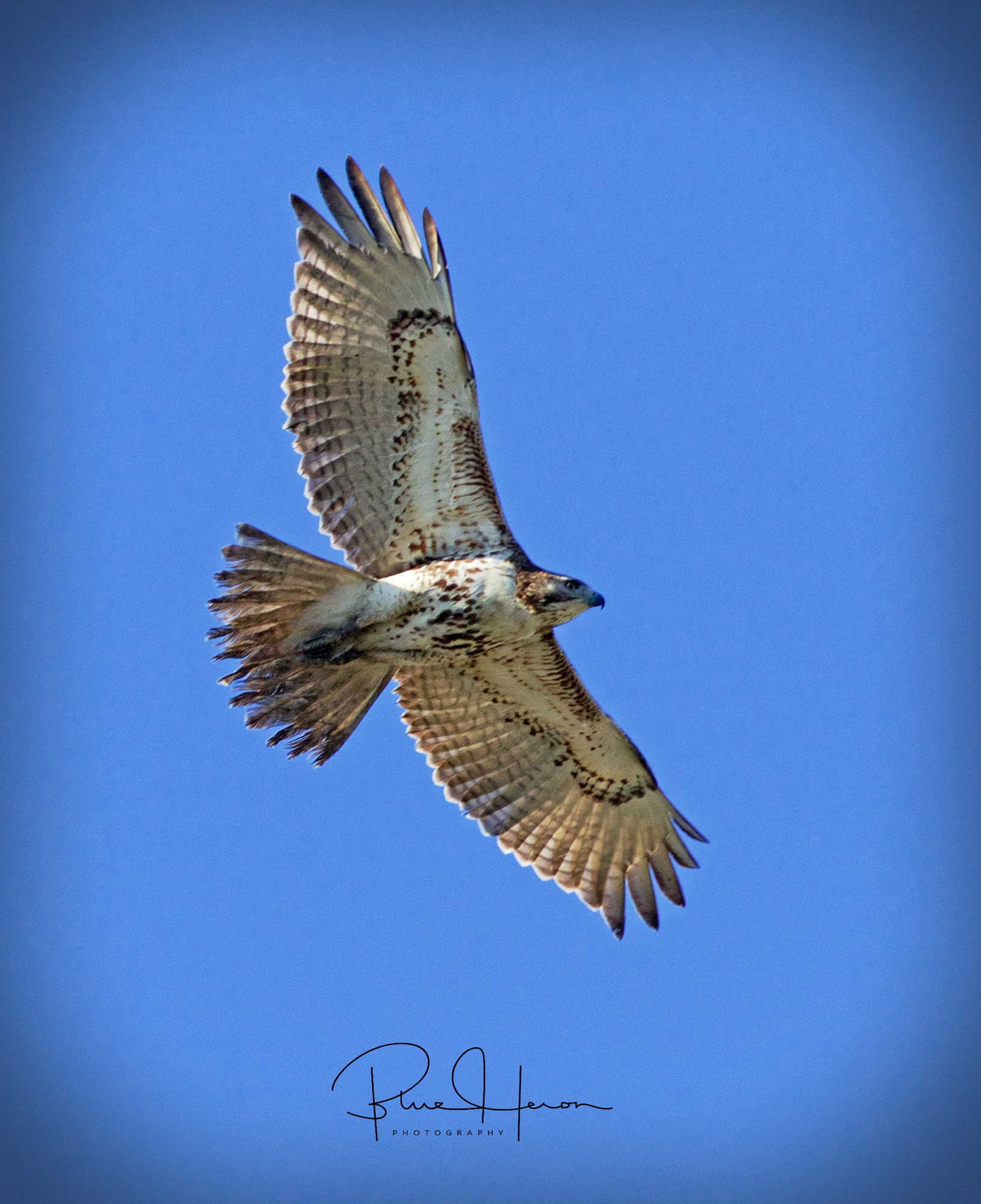 A buteo with its broad curved wings and short  wide tail circles the Broward..