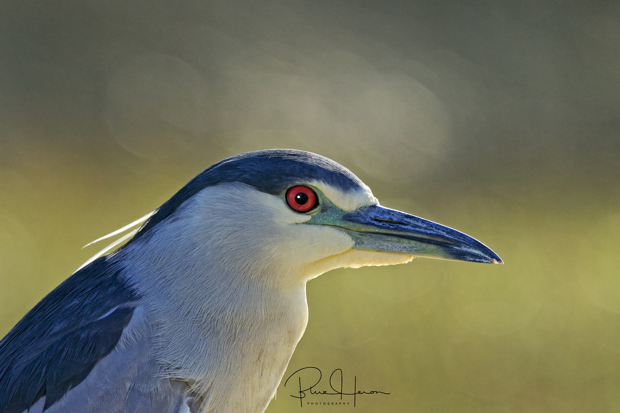 Wide eyed fear is evident in the eye of the Heron...