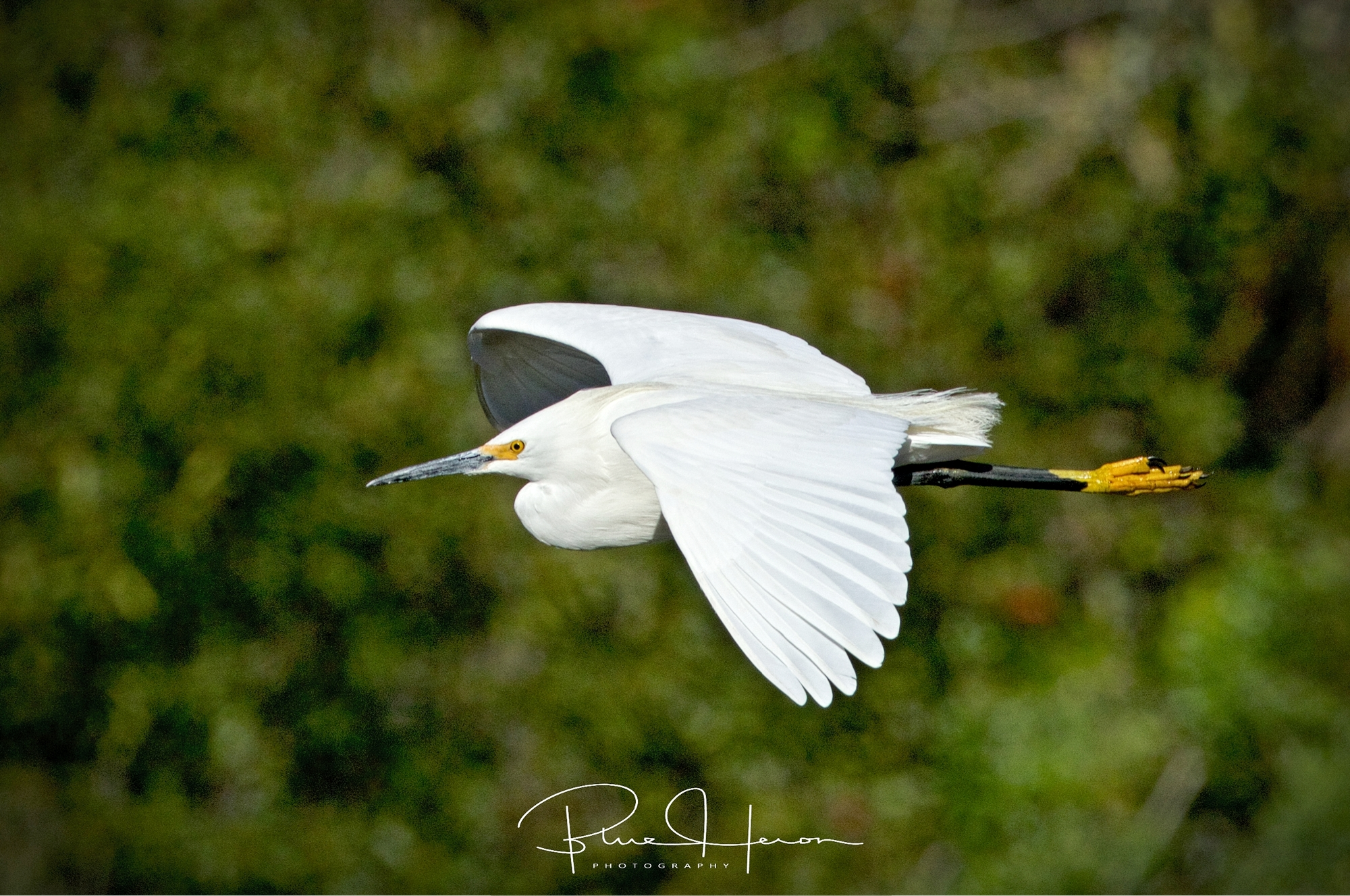 I had a Snowy Encounter of the Egret kind..