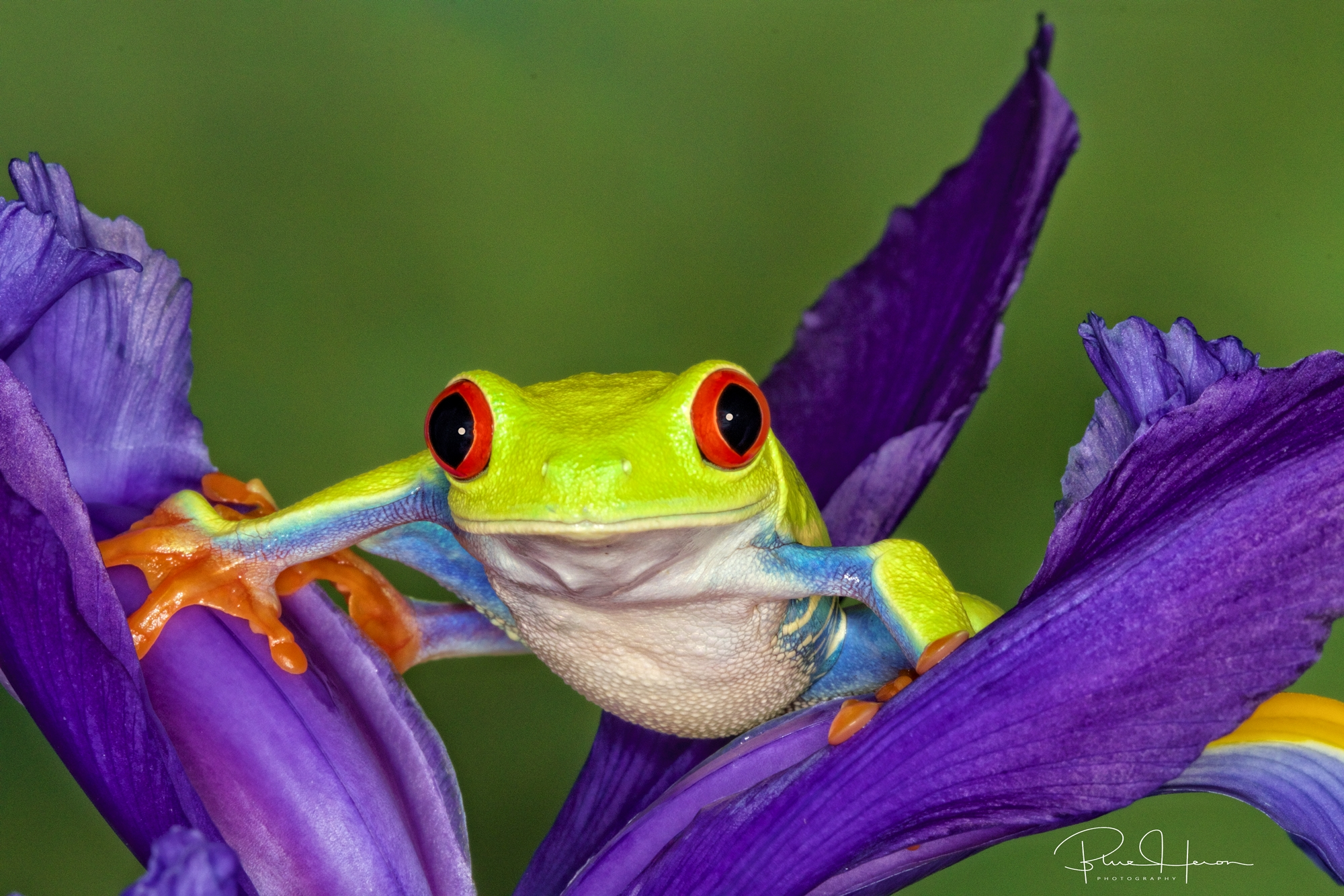 My favorite frog, the Red-Eyed Tree Frog..