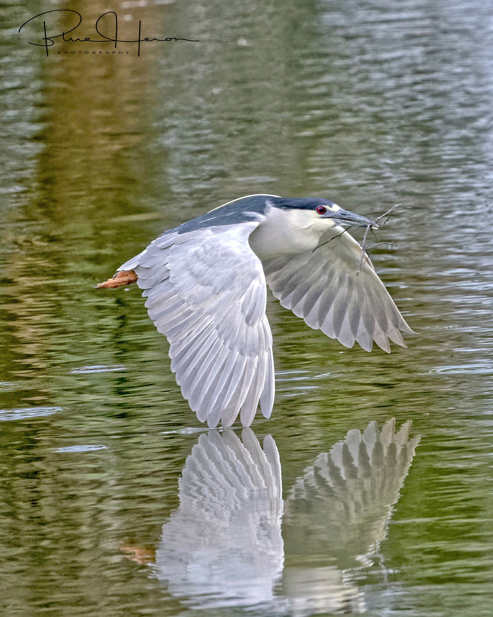 Get another stick she says...I stole this one from an Anhinga...Black-crowned Night Heron wing kisses the lake..