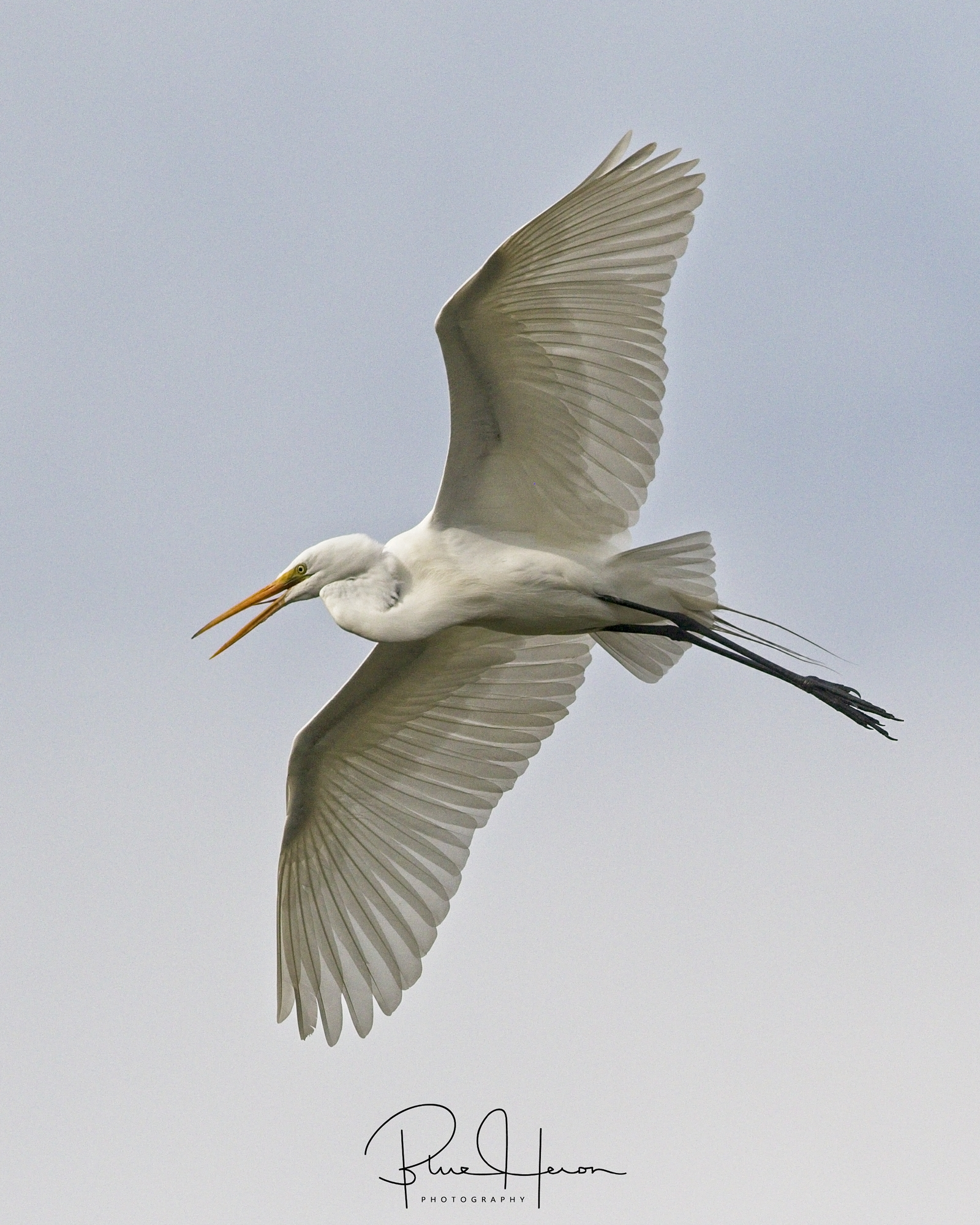 Great Egret Glides above the island looking for a safe landing branch