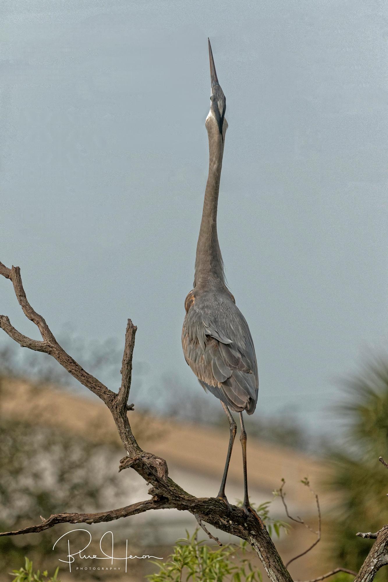 Great Blue Heron display posture