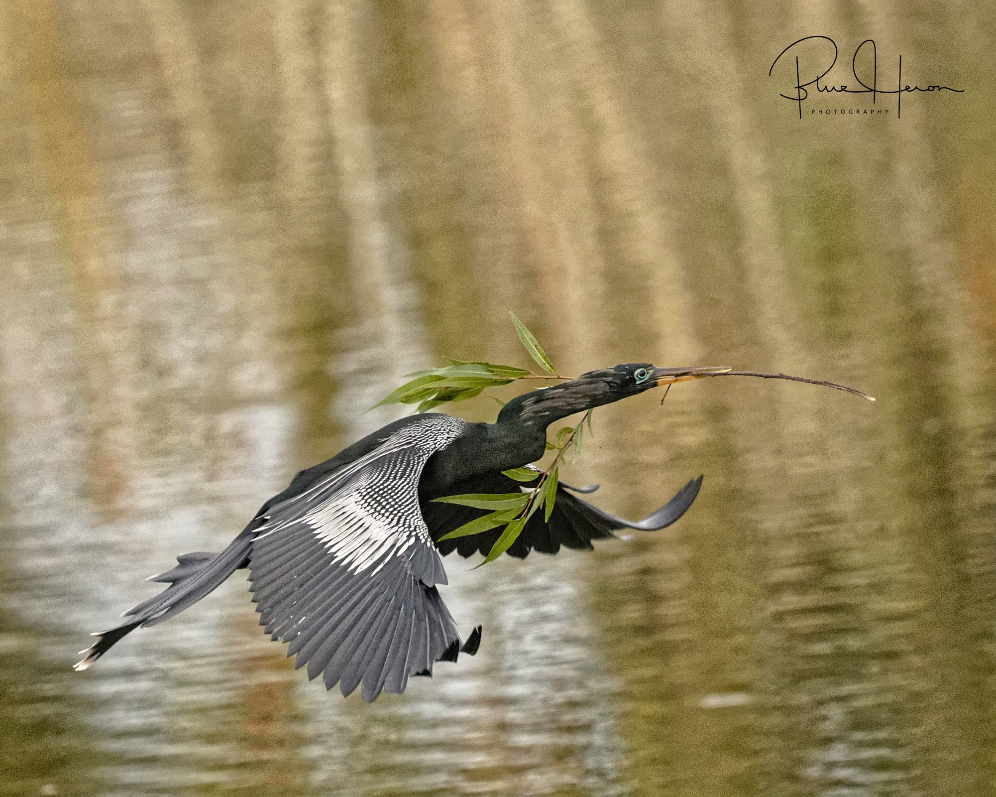 Anhinga Male bringing in stick for nesting..(note the blue breeding color around the eye)
