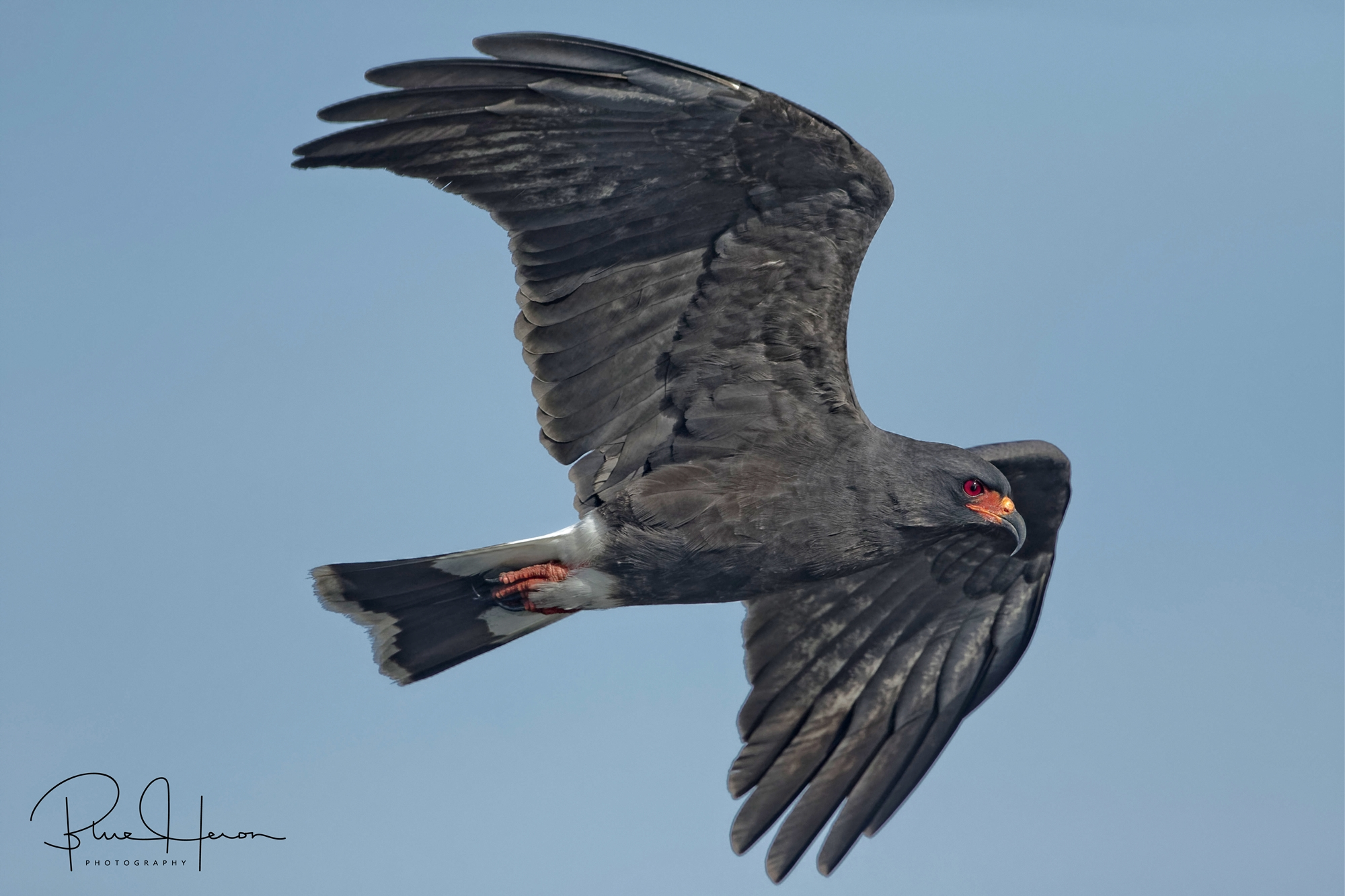 The male Snail Kite is dark grey-to-brown with orange feet and facial area. It has a white stripe on tail and back.