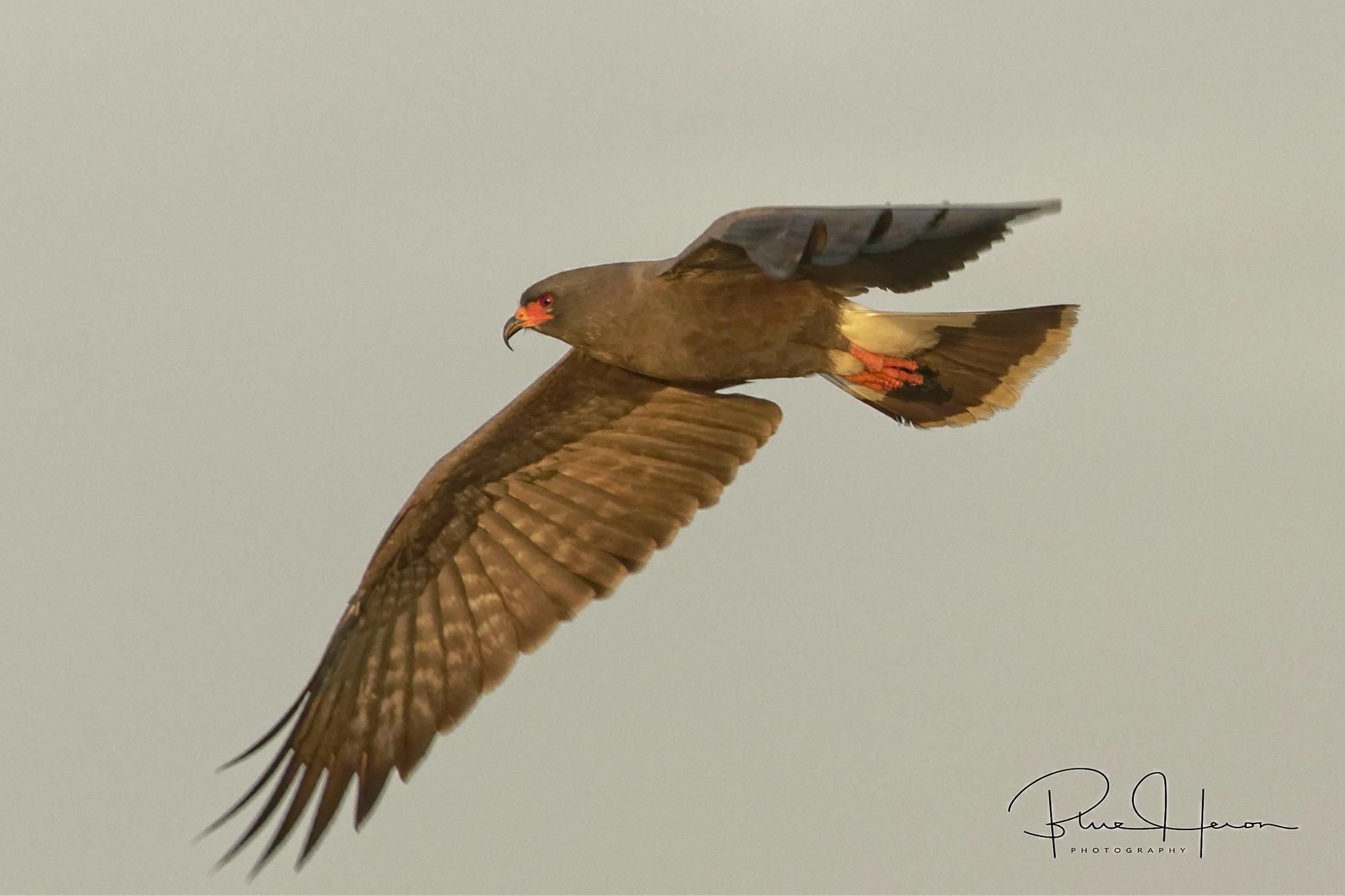 Maie Snail Kite in flight in early morning light