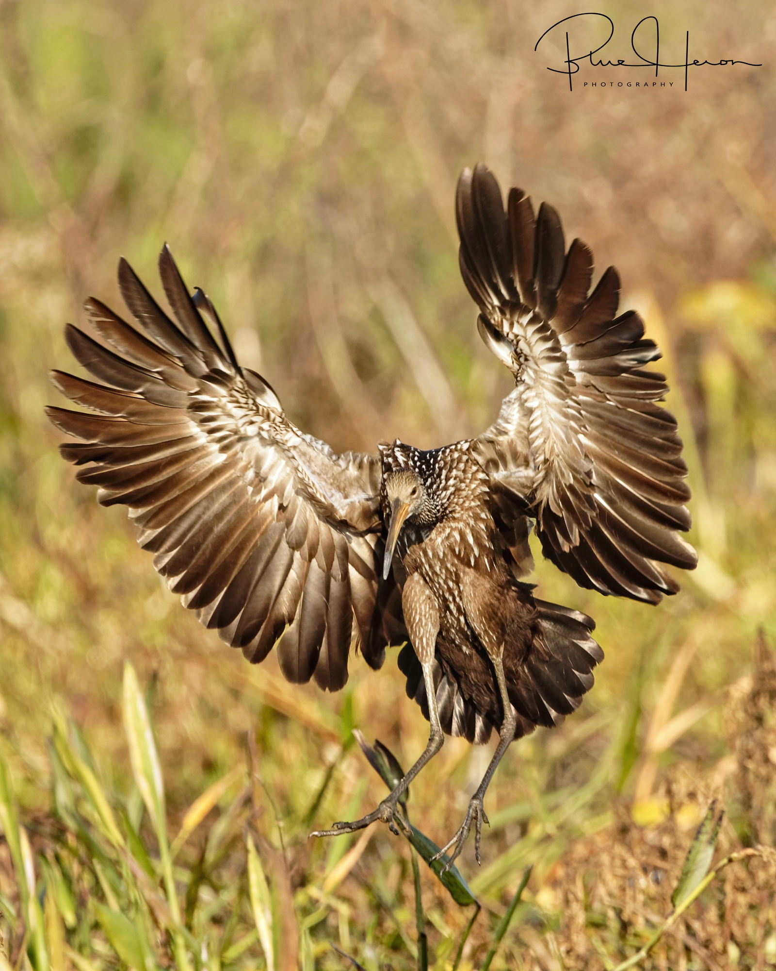 Limpkin landing...they also love snails, especially stealing them from the Kites..