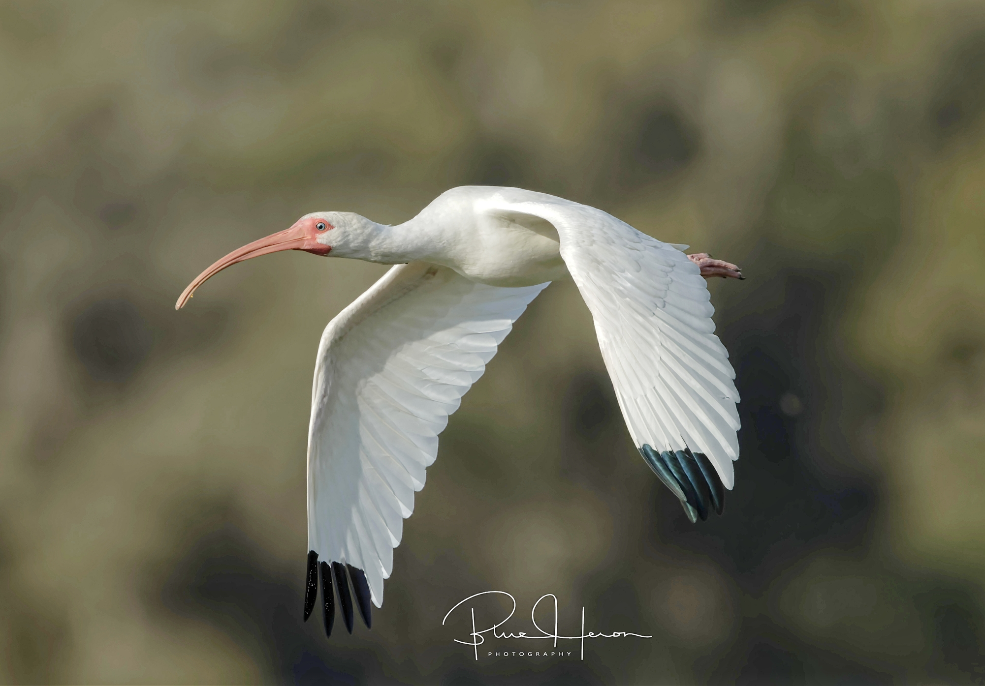 """The """"rare"""" White Ibis also compete for the snails.."""