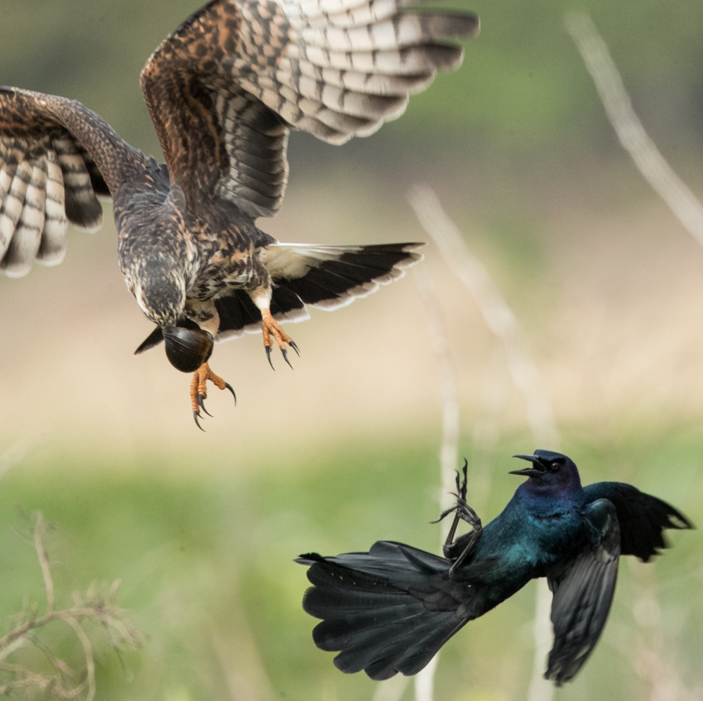 Grackle tries to steal a snail...Photo by and with permission of Michael Tapes