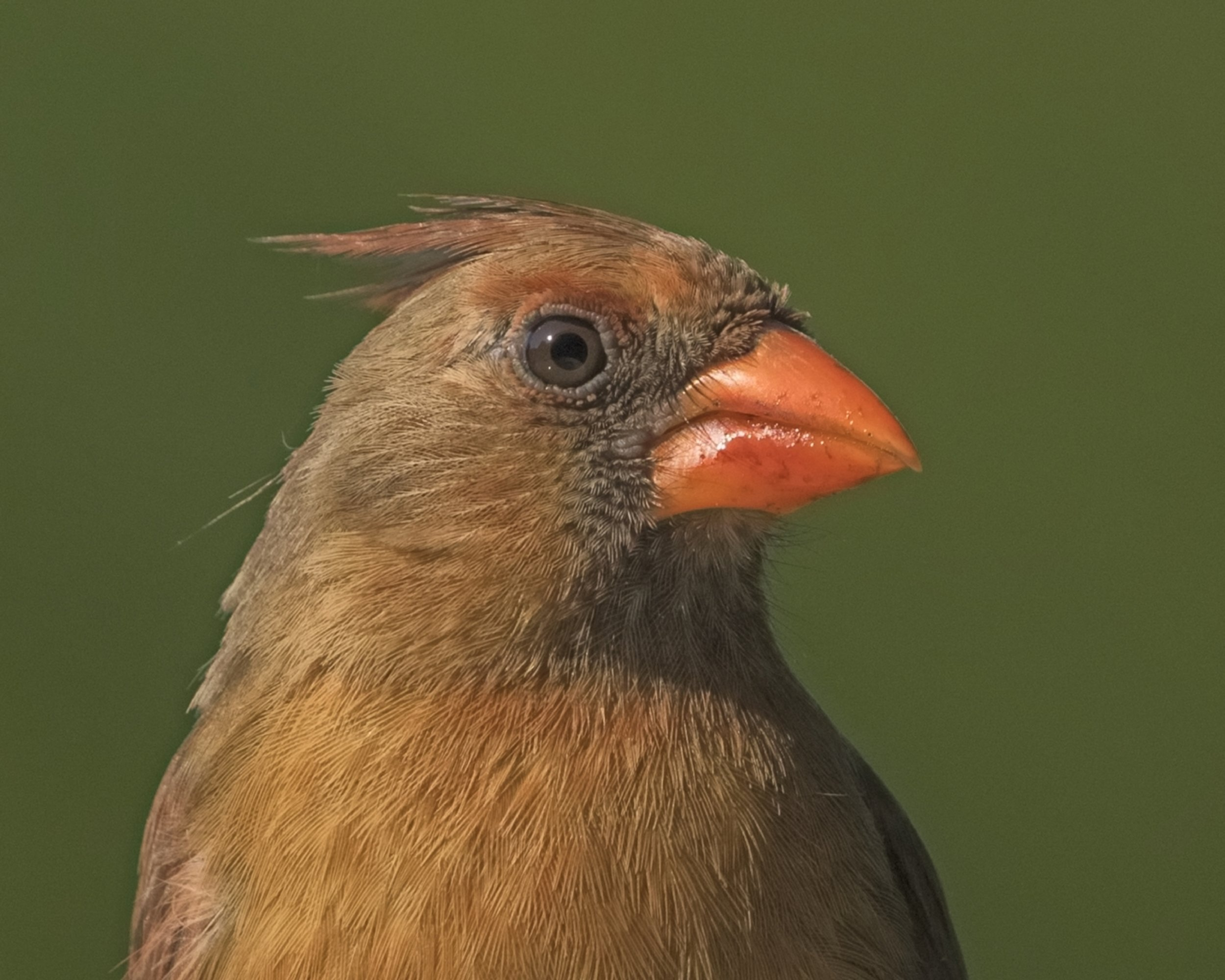 Female Red Cardinal,,note the intricate feather patterns
