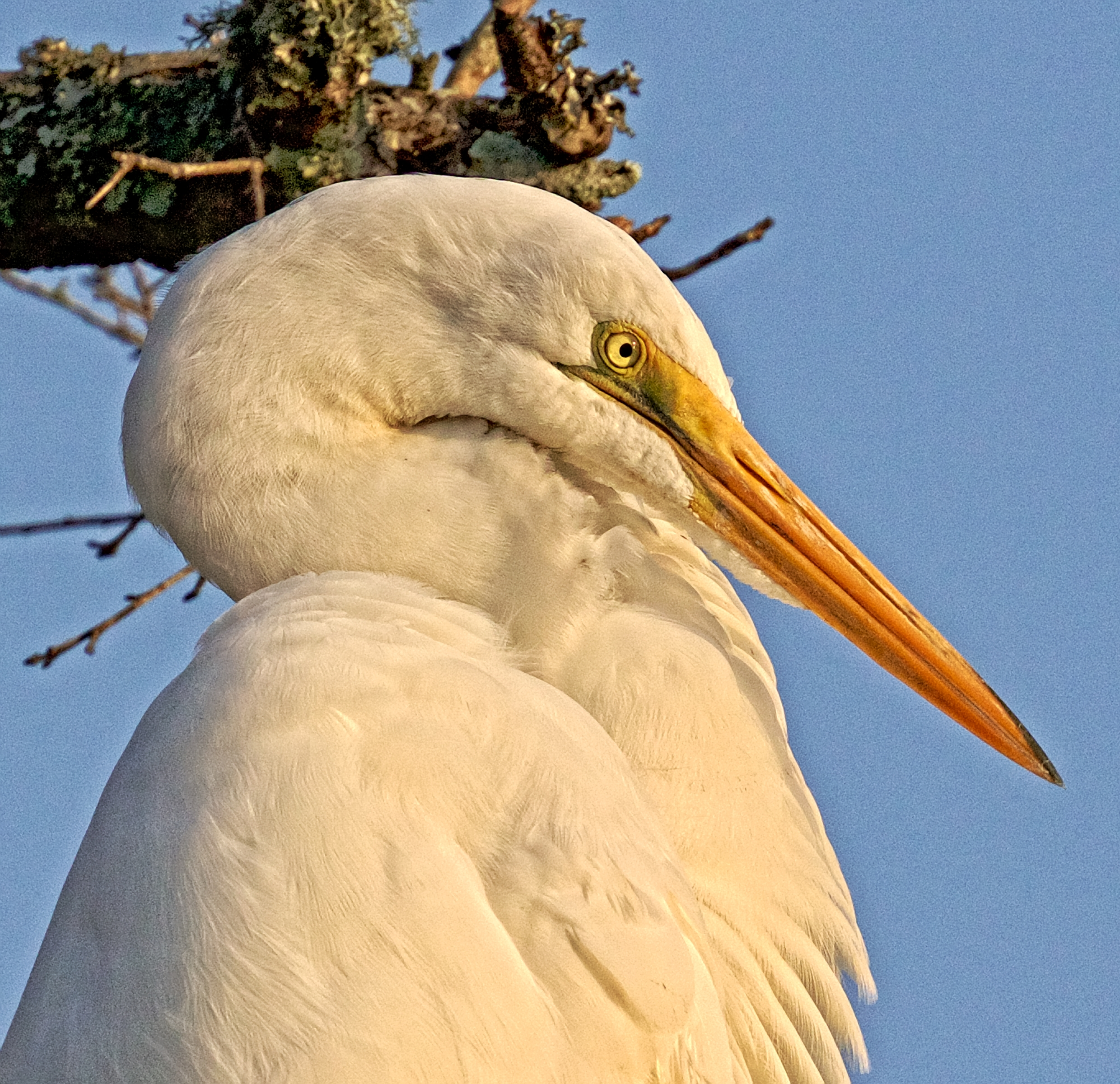 Great Egret Profile,,my neck is so long I got to scrunch it to get in the picture