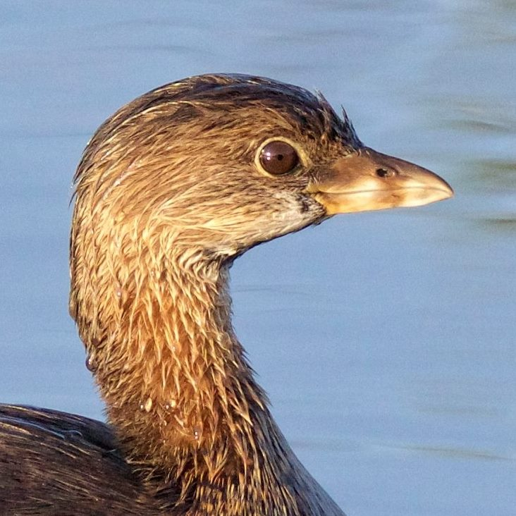 I am the Editor's favorite...Pied-billed Grebe, another diving duck