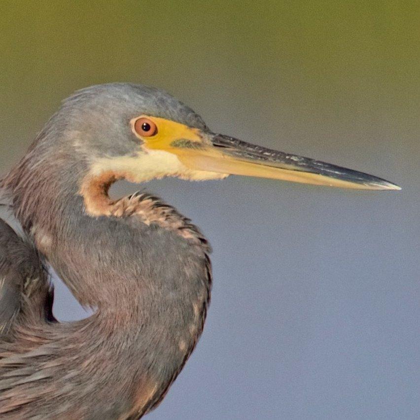 Tricolored Heron Profile