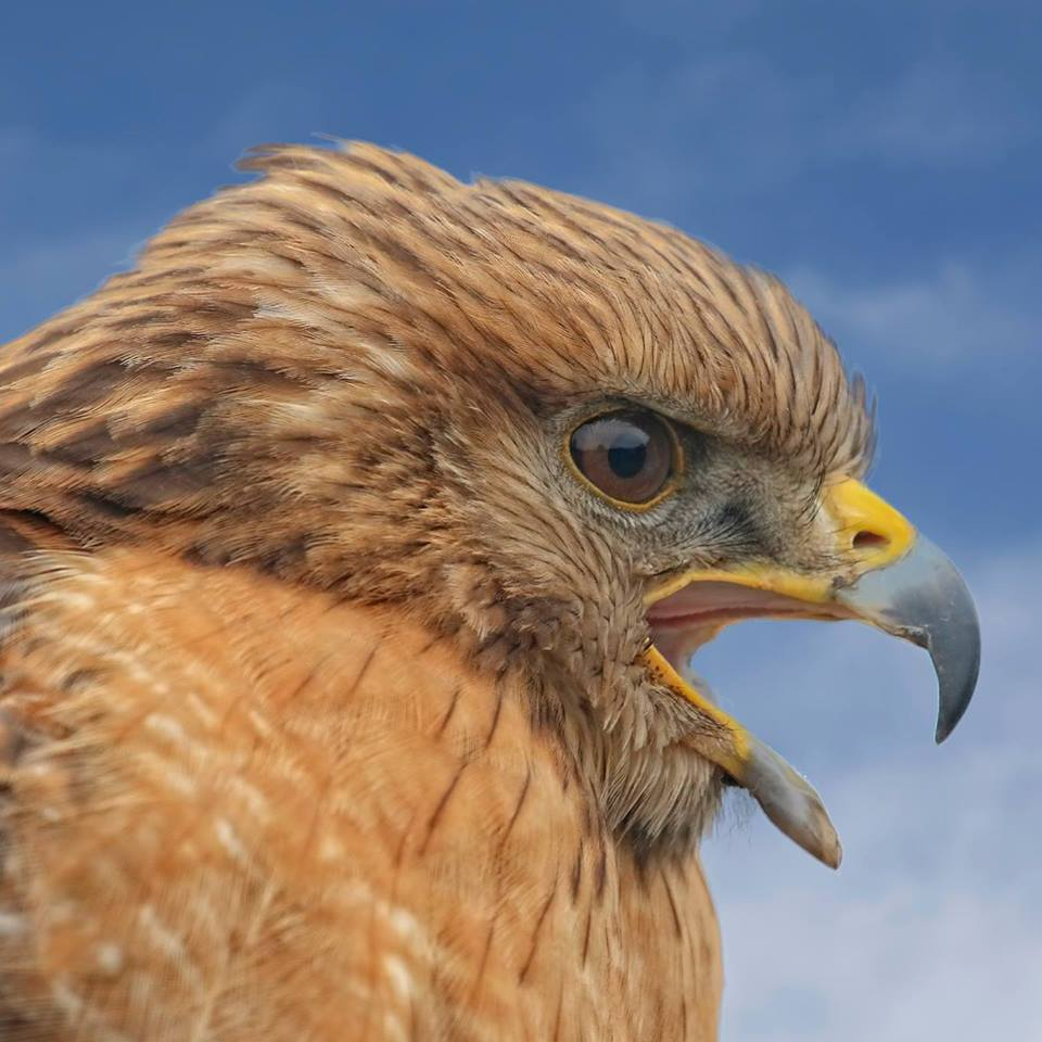 Red Shouldered Hawk making a loud squawk