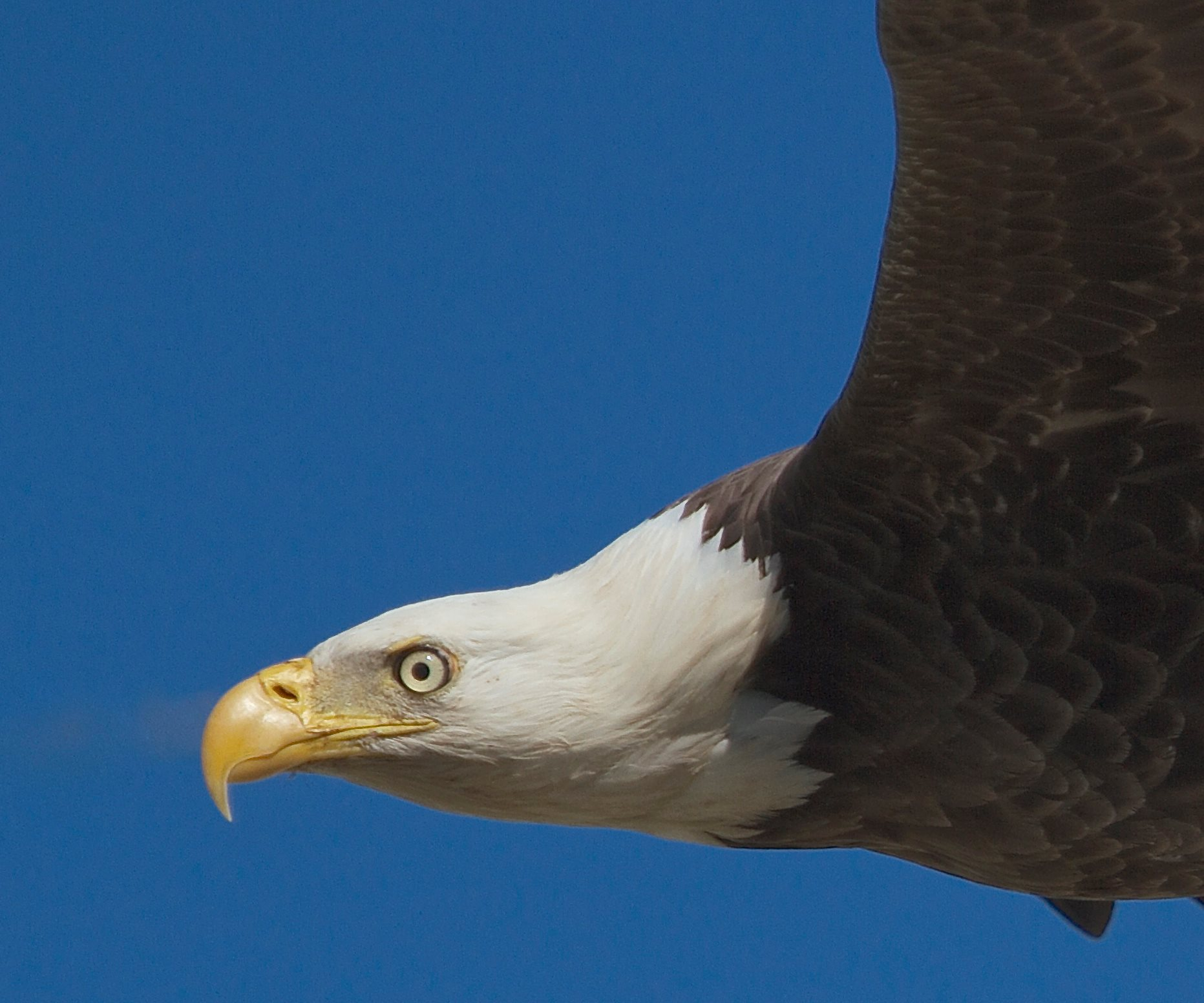 American Great Bald Eagle...King of the sky