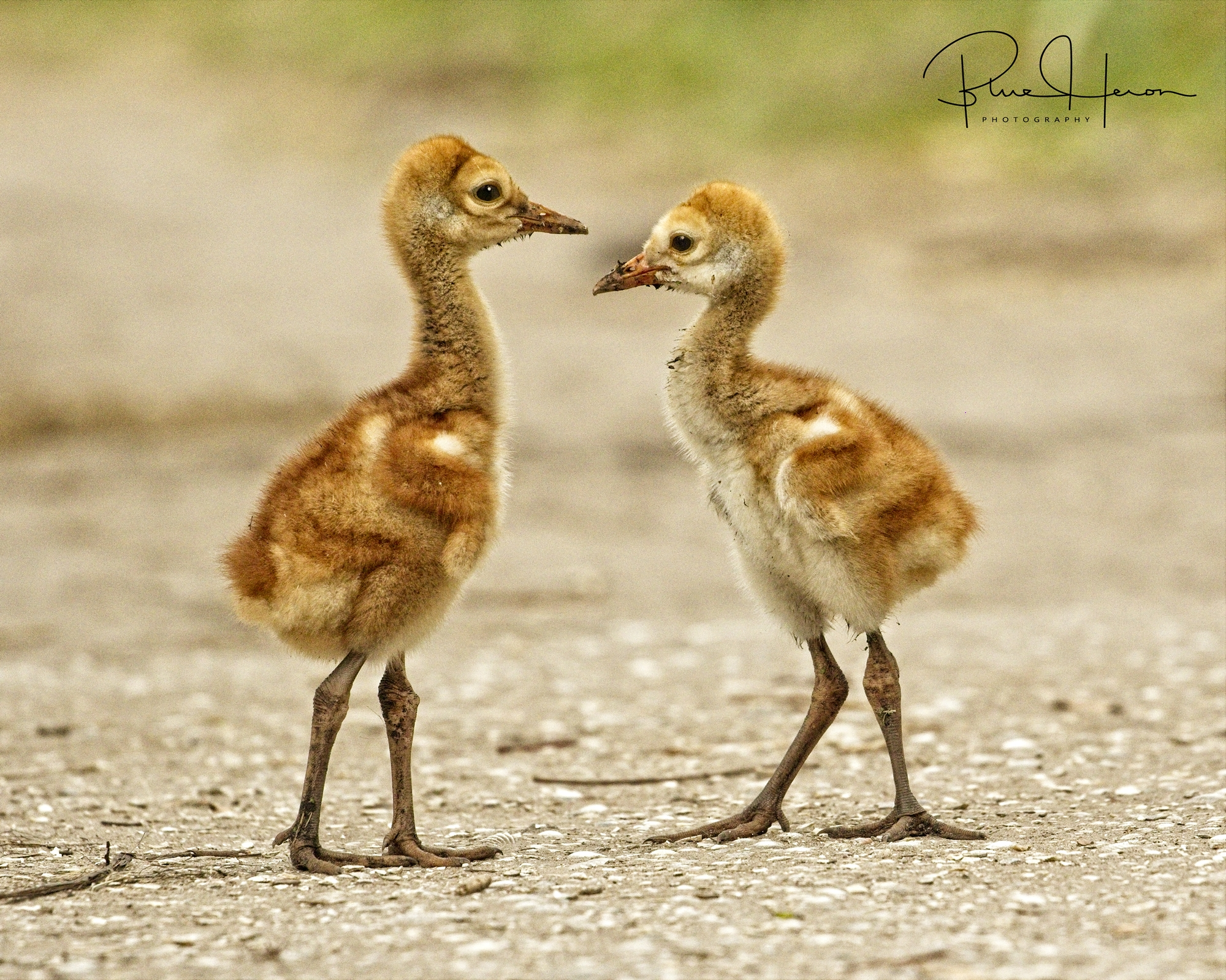 """Baby Sandhill Cranes are called """"Colts"""""""