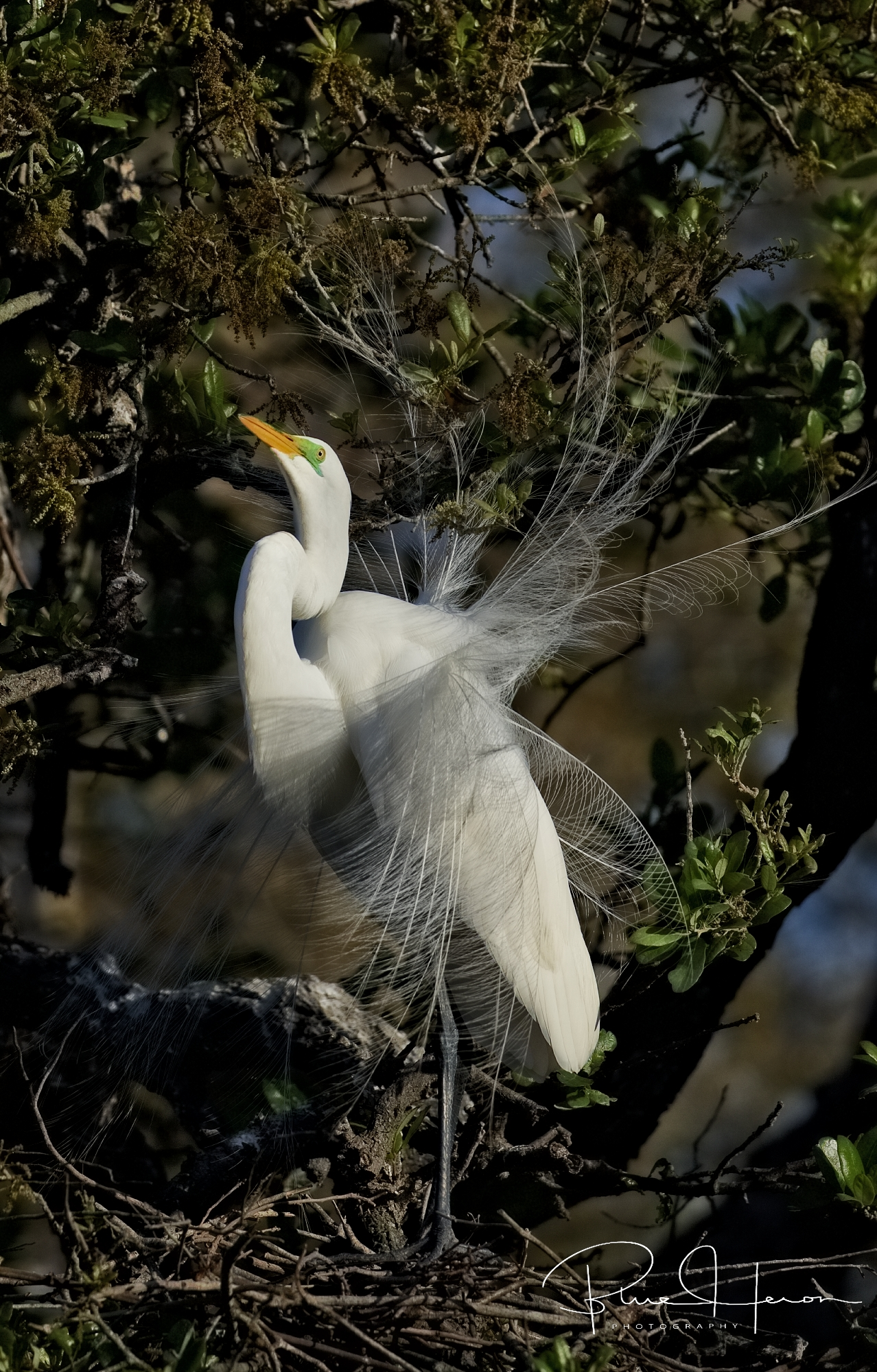 Another Great Egret Display