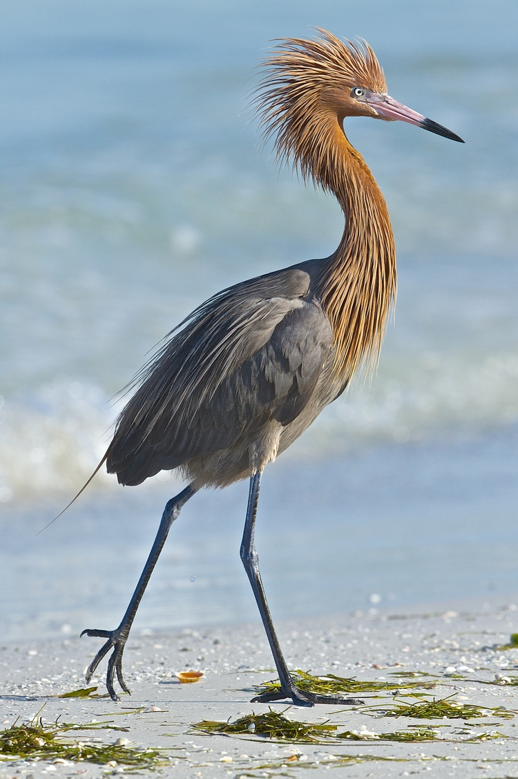 This 2014 photo of the Reddish Egret (dark morph) shows the beauty of this birds feathery neck and head and was my first award winning photo.