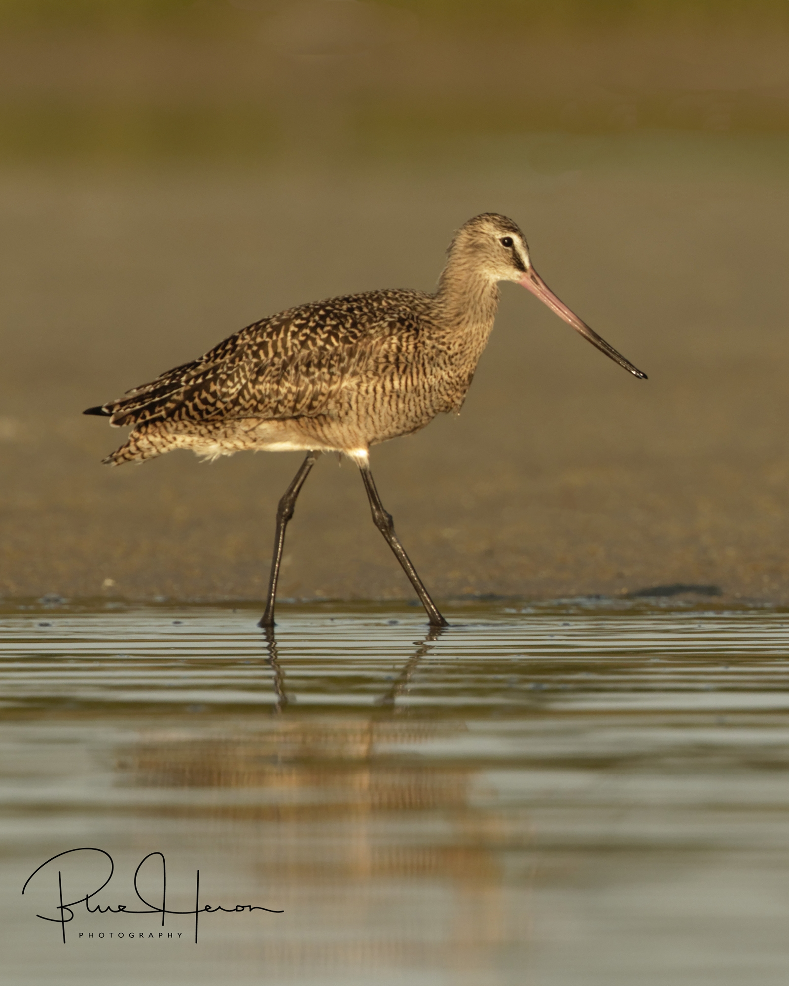 A Marbled Godwit searches the shoreline..