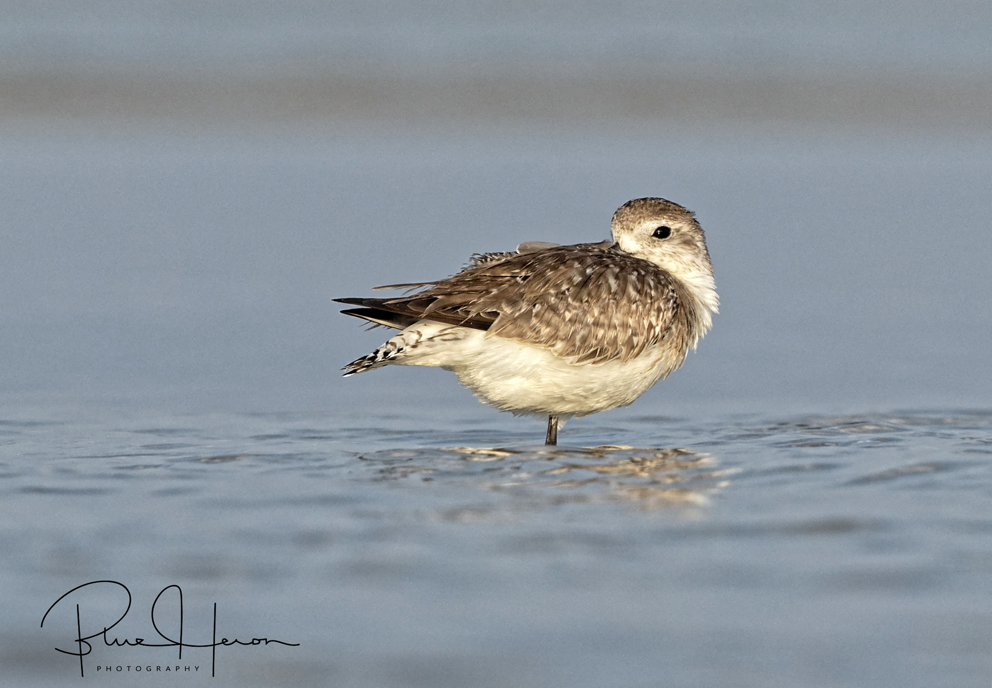 Getting low to capture a Black Bellied Plover resting in the tide.