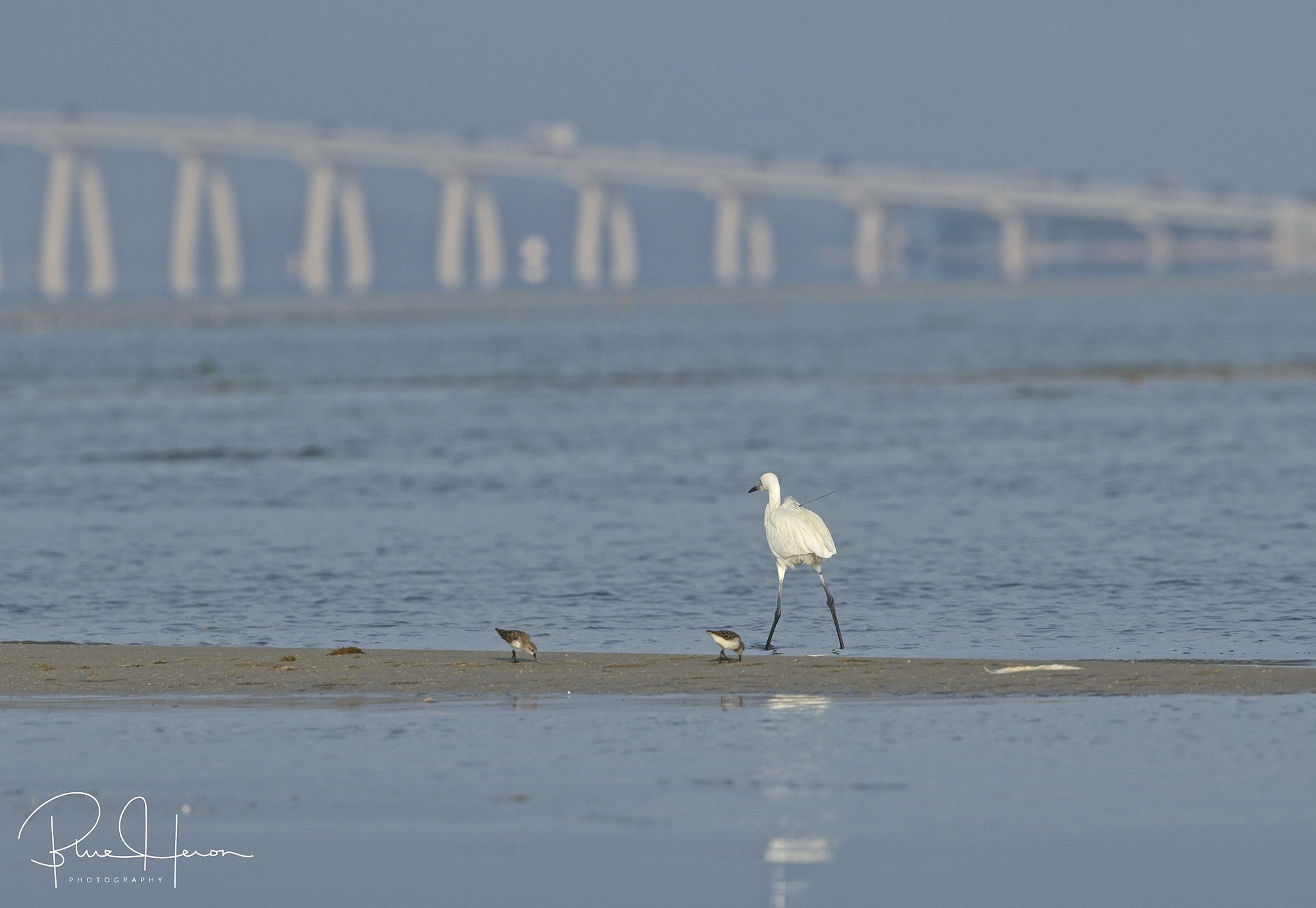 Maxis spots a White Morph Reddish Egret, it flies off and the quest is on to capture a photo
