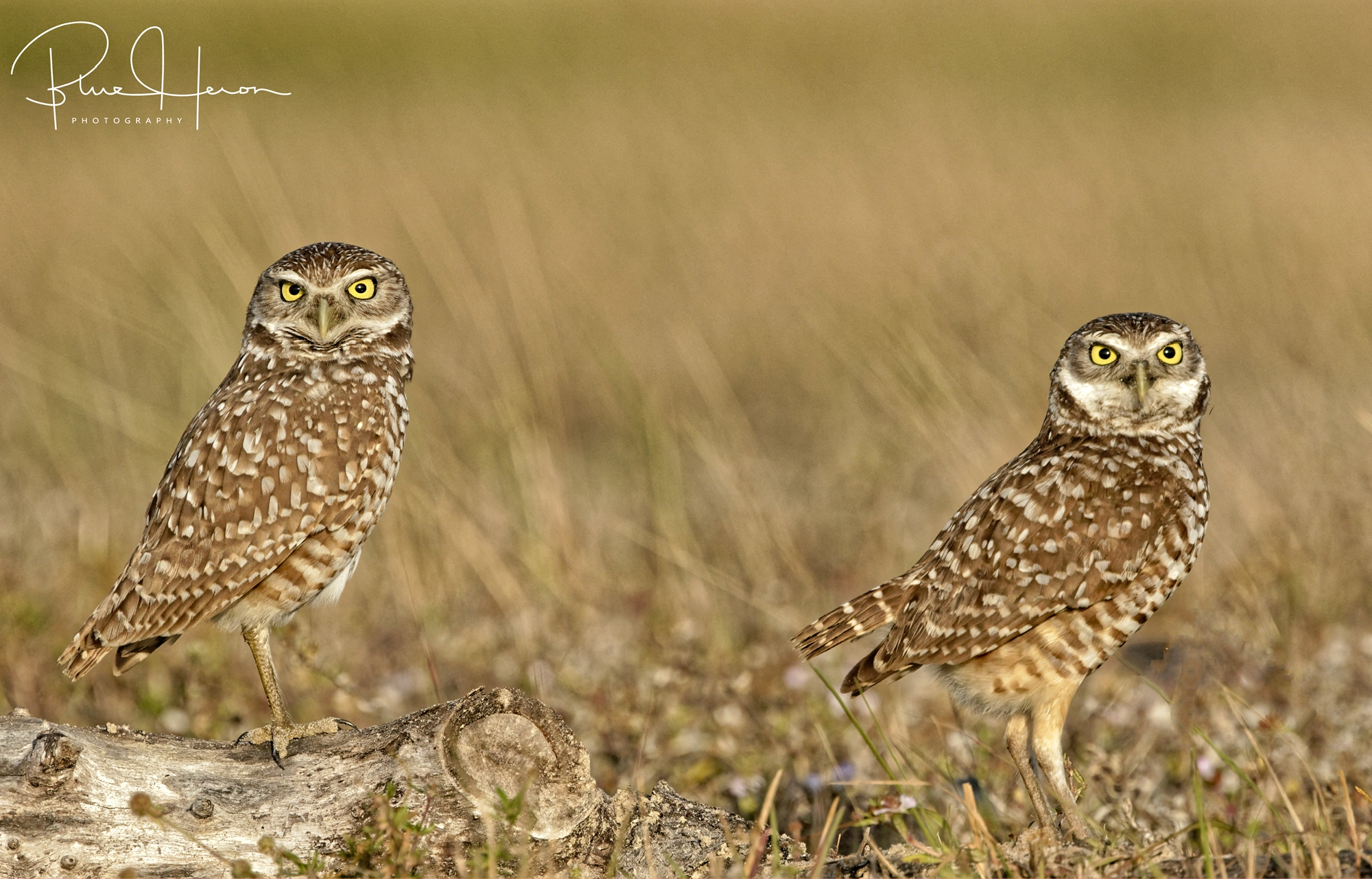 This pair of Burrowing Owls starred at us starring at them