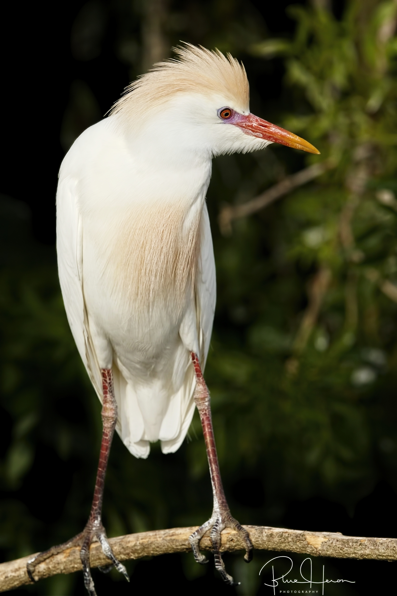 This Cattle Egret at Gatorland was showing breeding colors on the head and chest feathers.