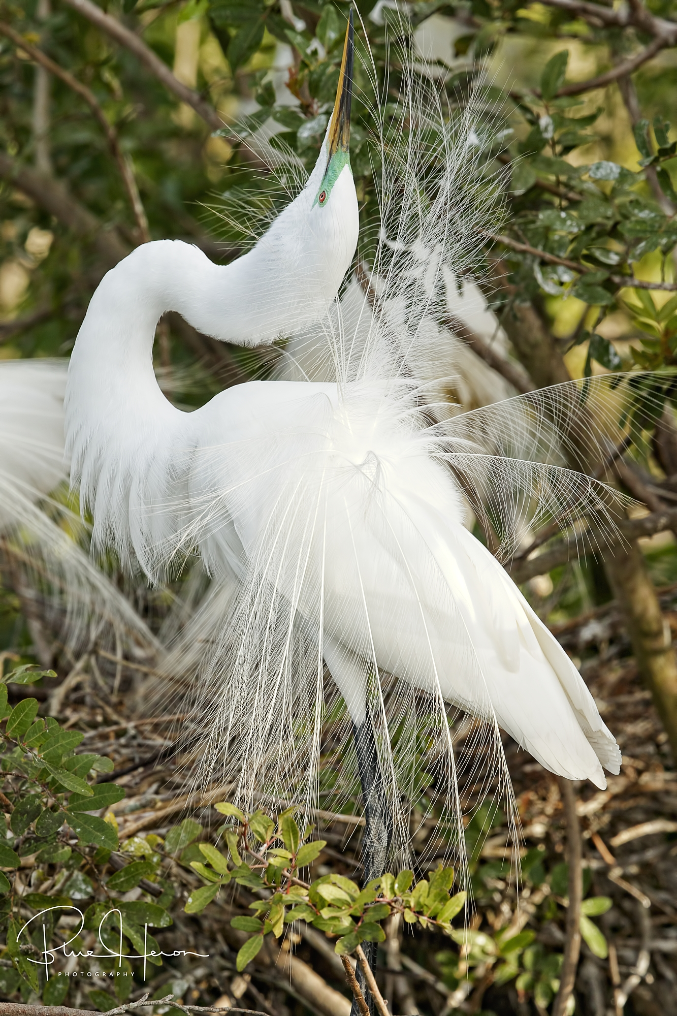 Great Egret doing a display of breeding plumes