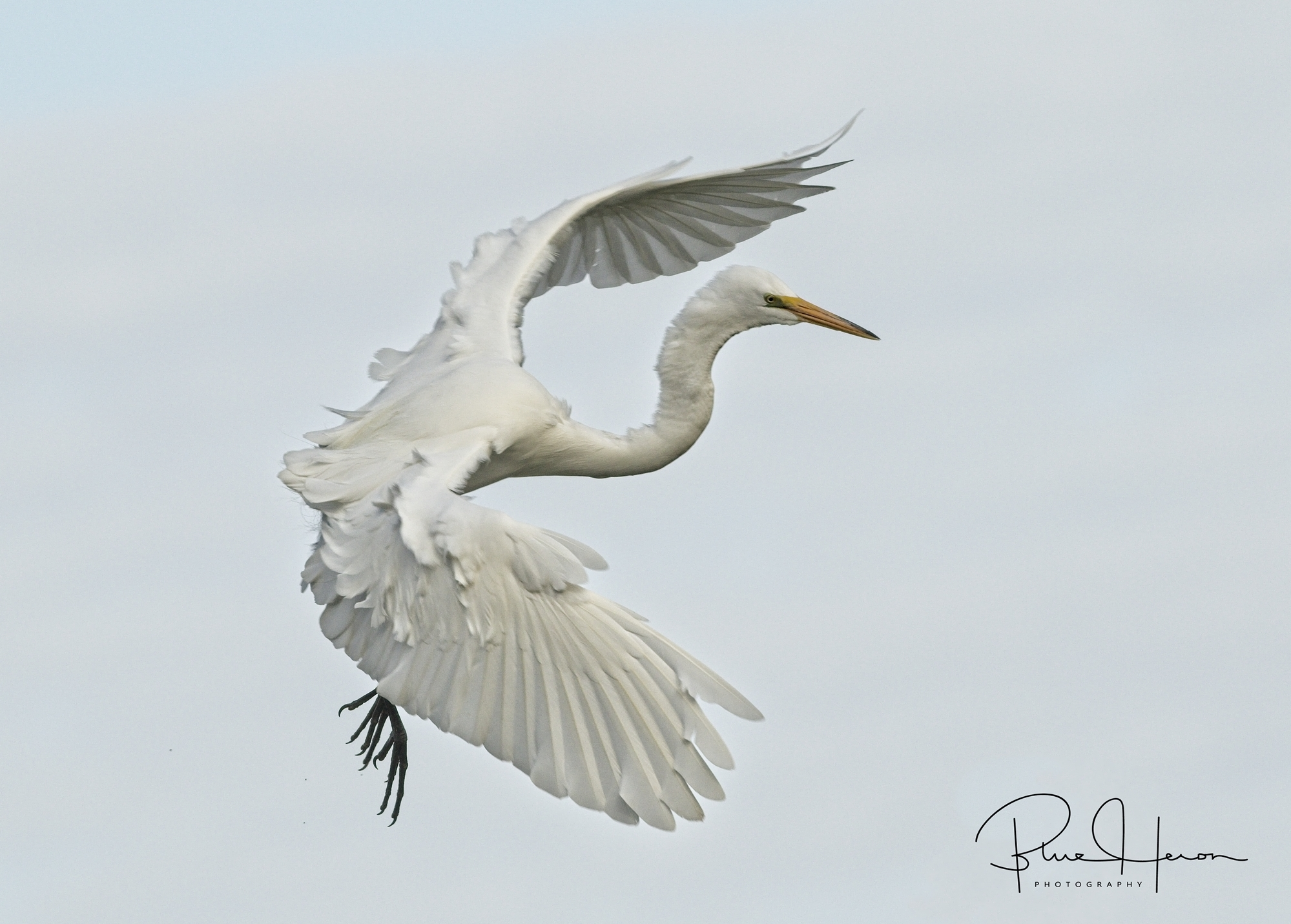 A Great Egret makes its turn to final approach at the rookery.
