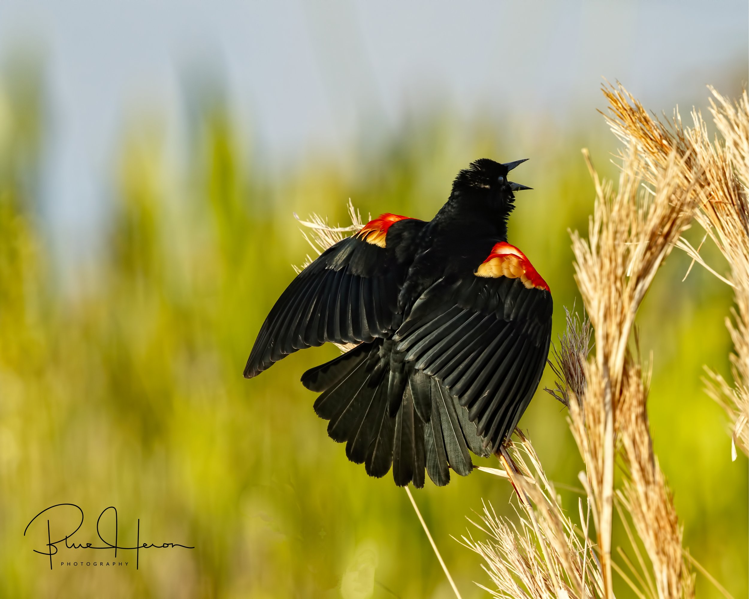 A Red-winged Blackbird sings in the marsh....