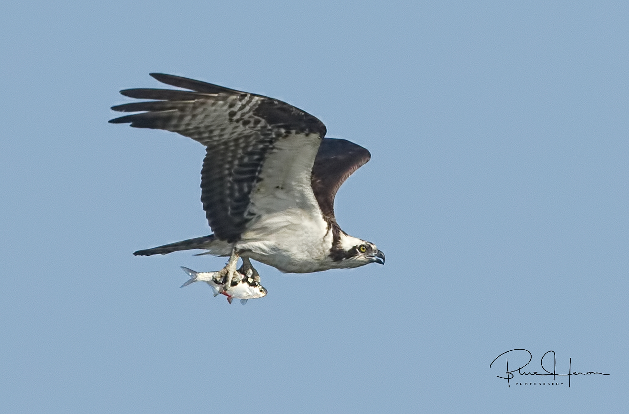 The Osprey is having a Shad Sandwich too!.....hmmm..gives me an idea but I digress