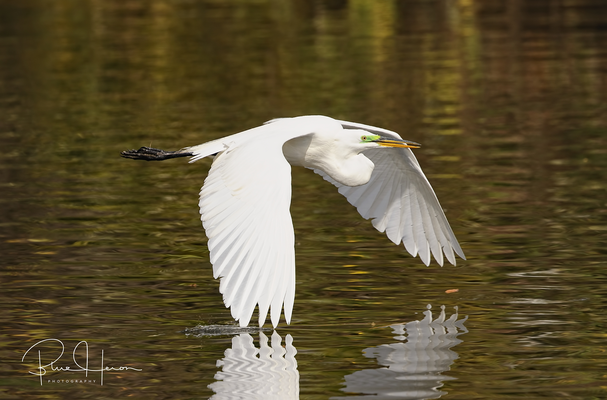 Smoke on the water....Great Egret flying low..