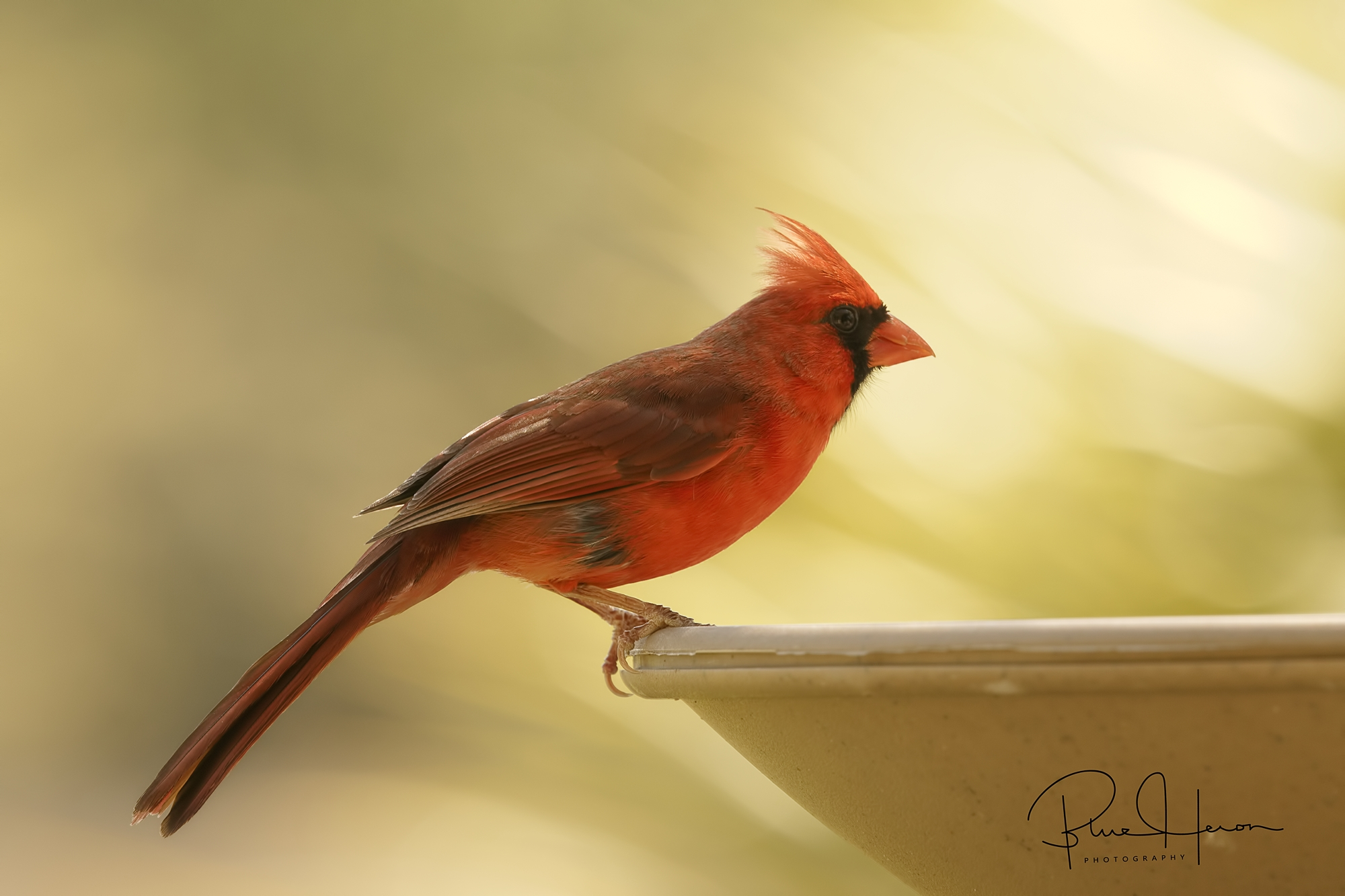 My hair feathers are on fire!  Northern Cardinal (male) grabs a drink of fresh water  in the smokey air.