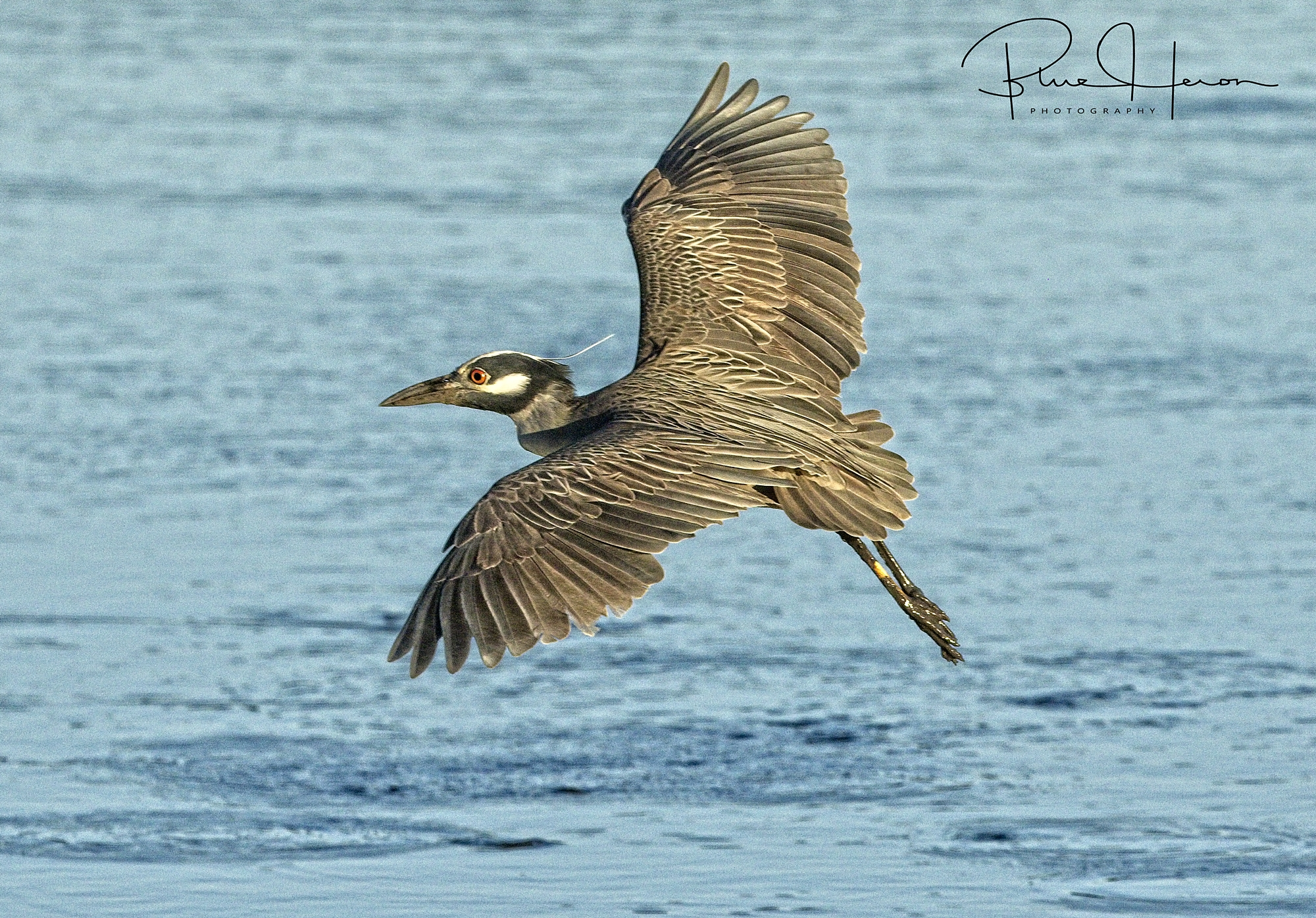 George, the Yellow-crowned Night Heron flying by enroute to a crab fest.