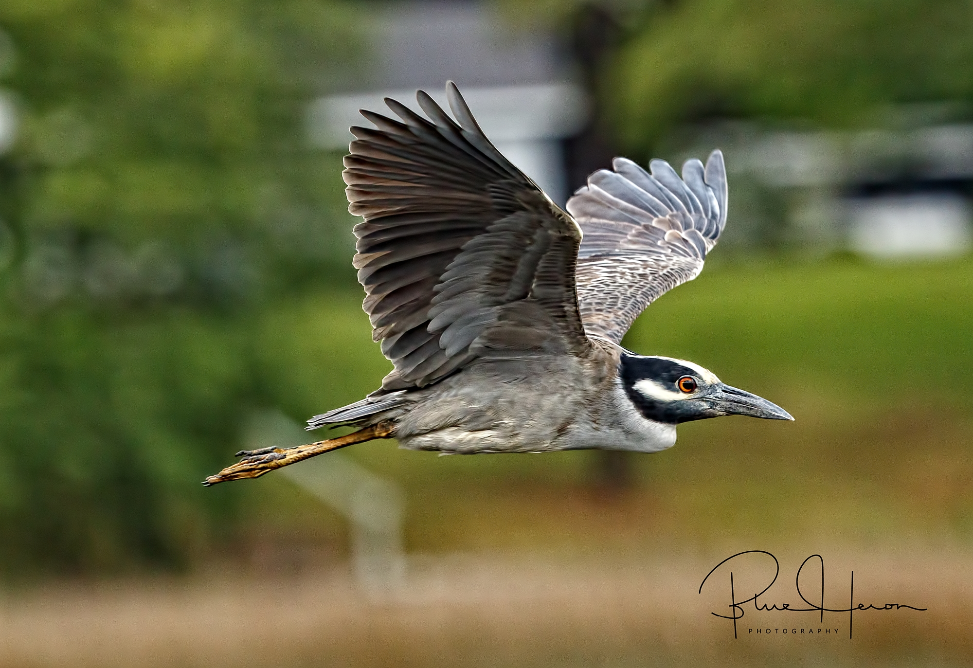 Yellow-crowned Night Herons have a distinctive white stripe below the eye..and all black beak.