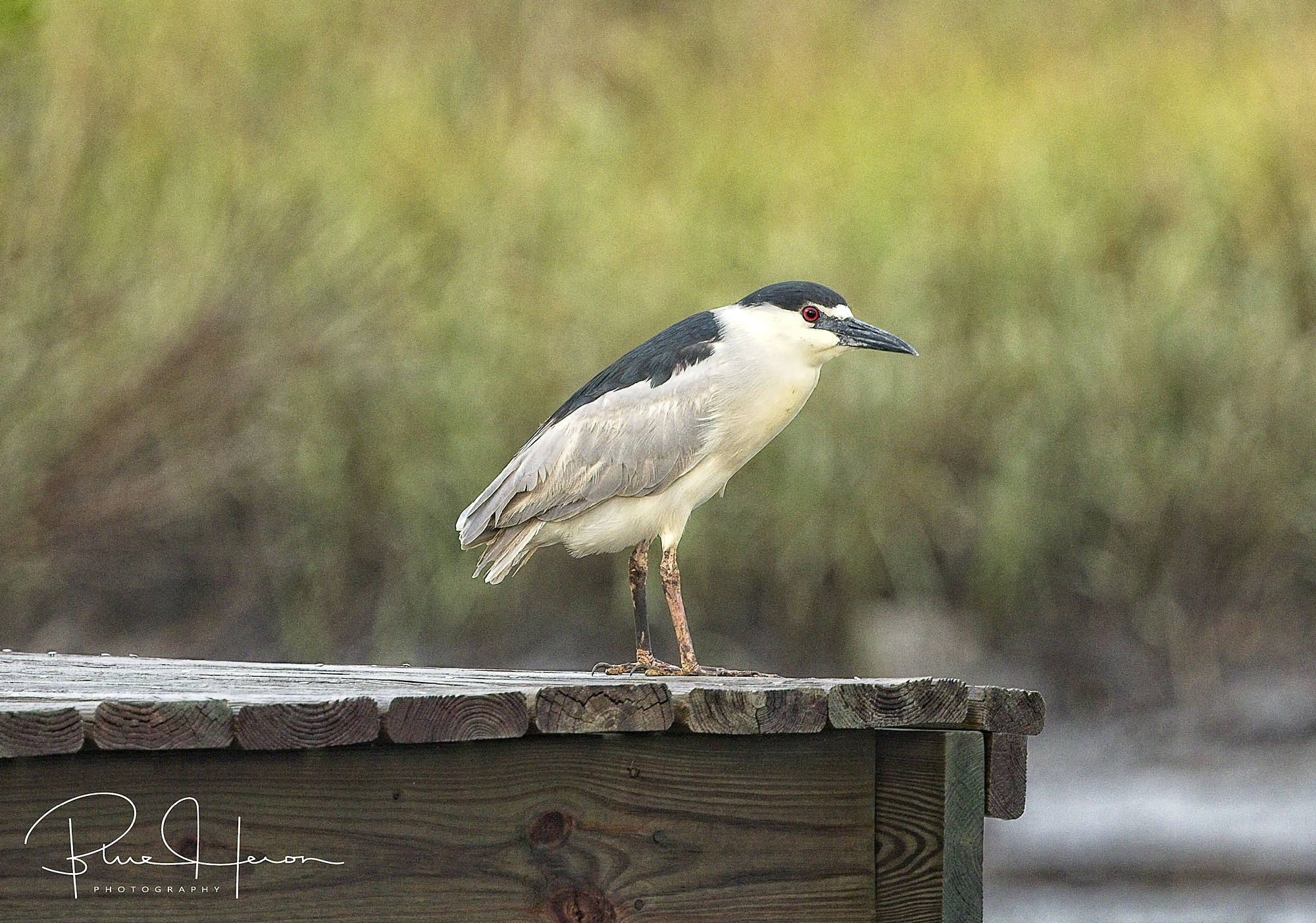 The Black-Crowned Night Heron resting on the lizard lounge. Note the bicolored beak with some yellow near the base on the lower beak.