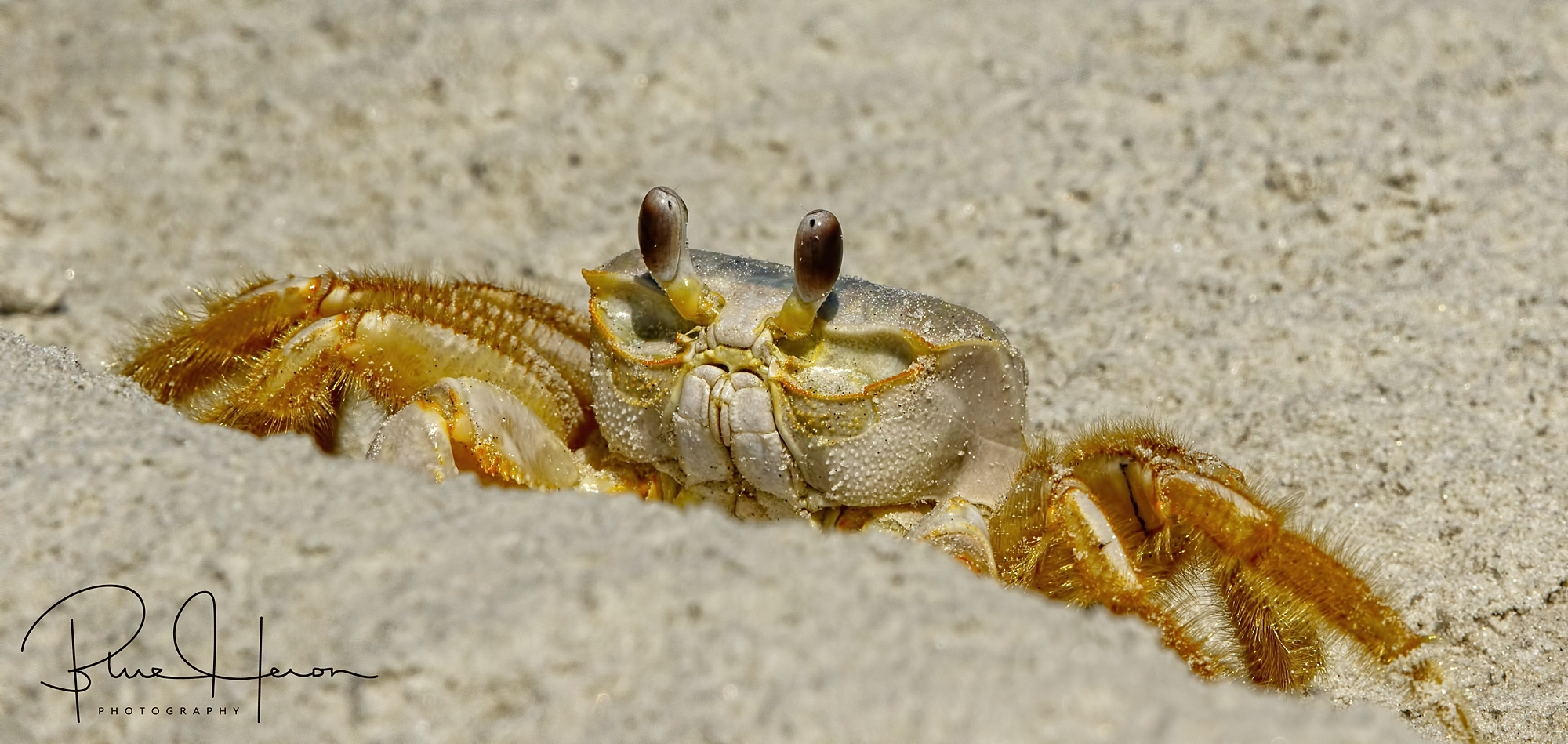 I see you there Mr. Doohickey...Ghost Crab looking to attack a hatchling..
