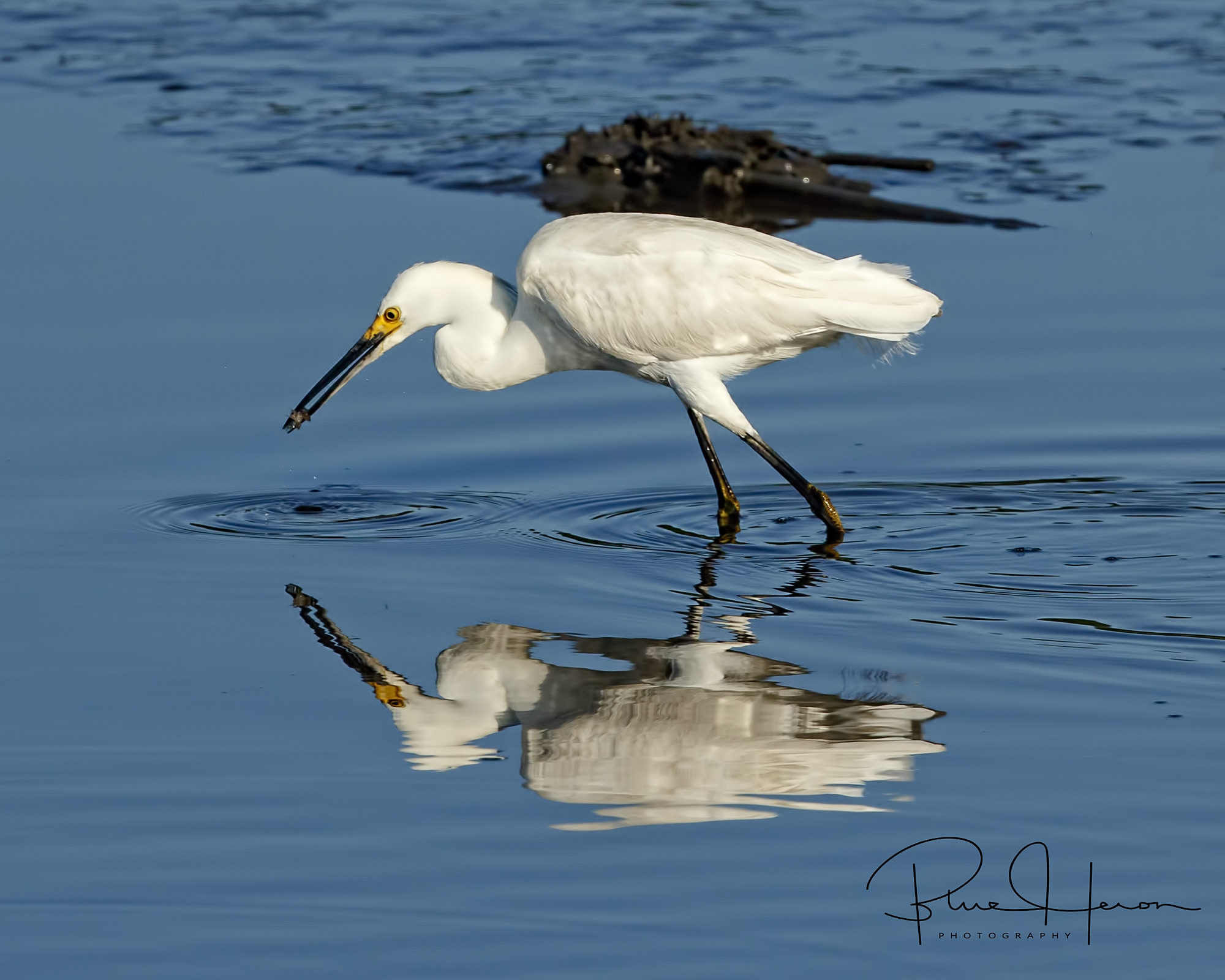 Neither was the Snowy Egret as it hunted for minnows in the falling tide