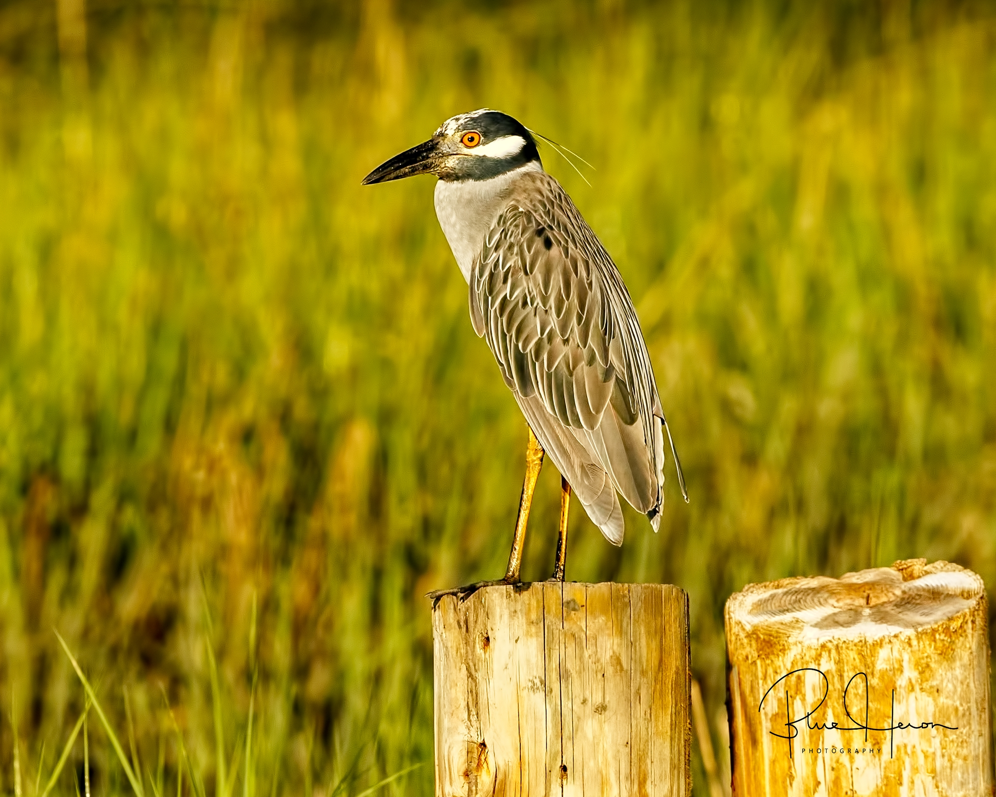 George, the Yellow-crowned Night Heron greets the morning..
