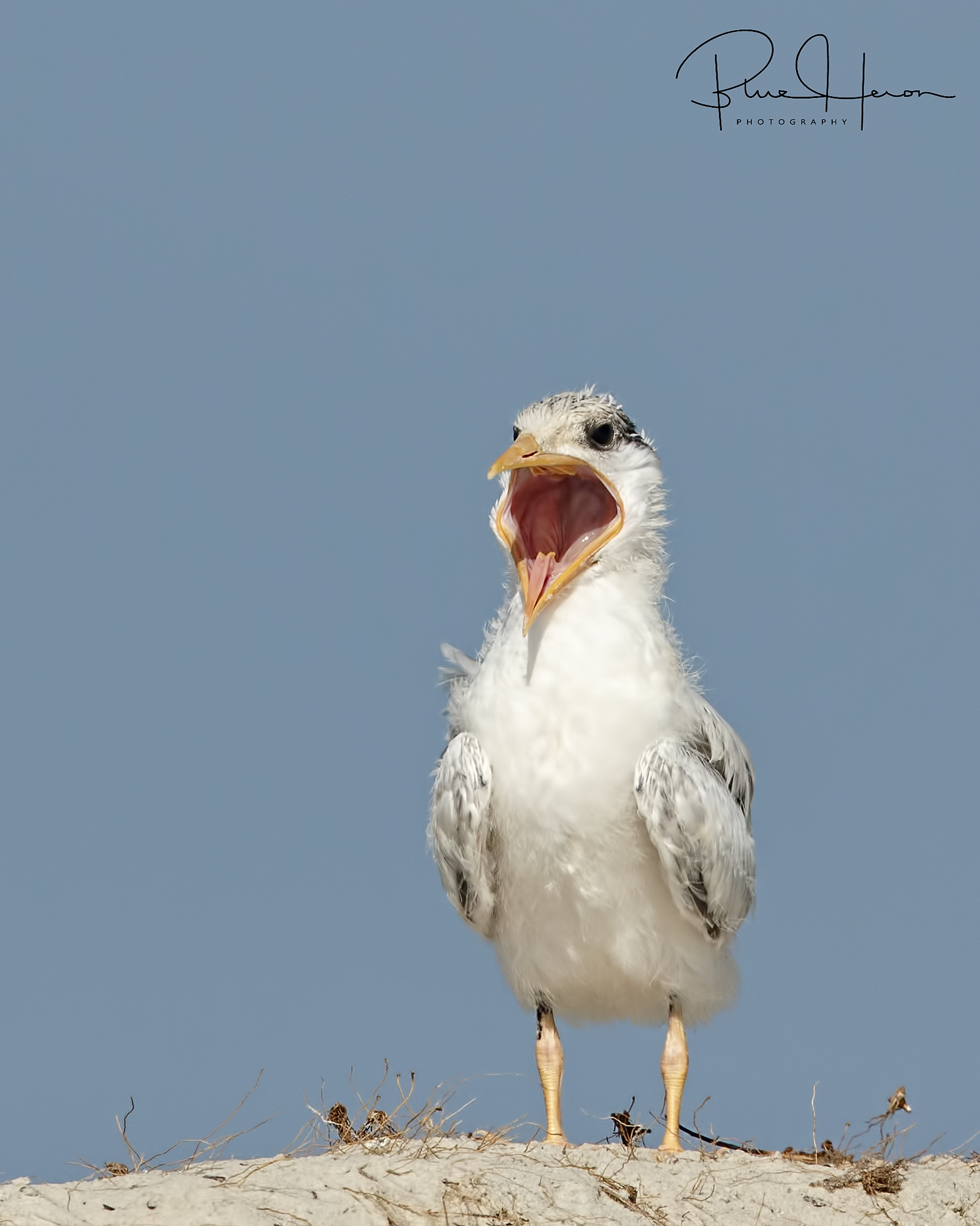 "Meet ""Big Mouth"", the Royal Tern chick"